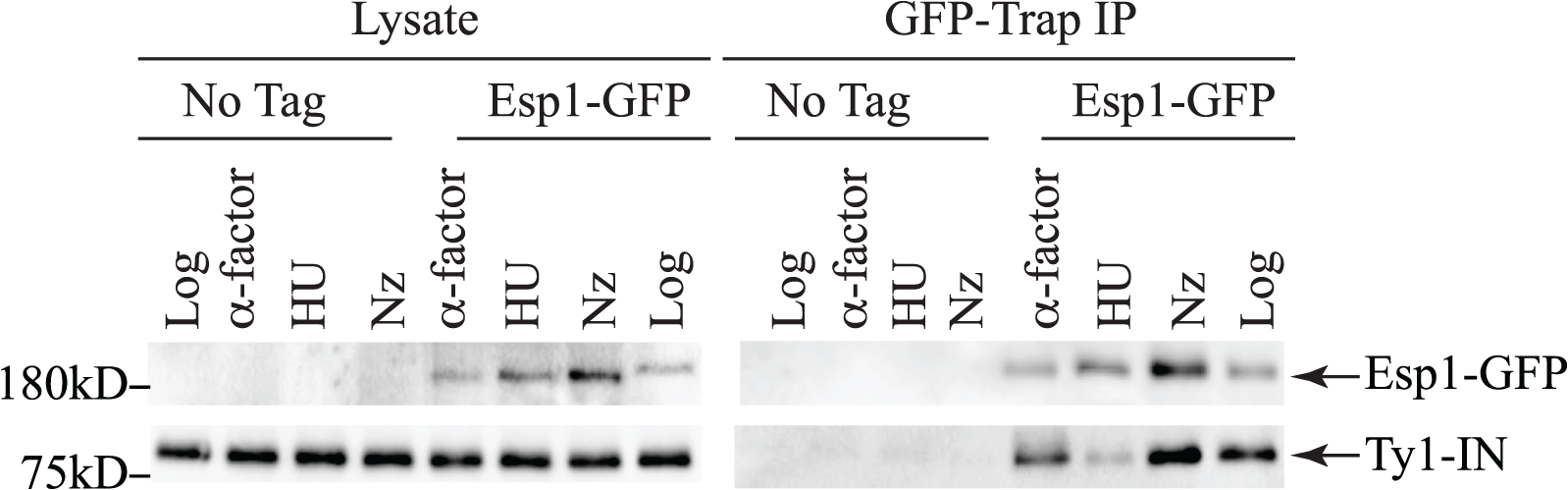 Esp1 interacts with Ty1-IN in G1 and G2/M phase cells.