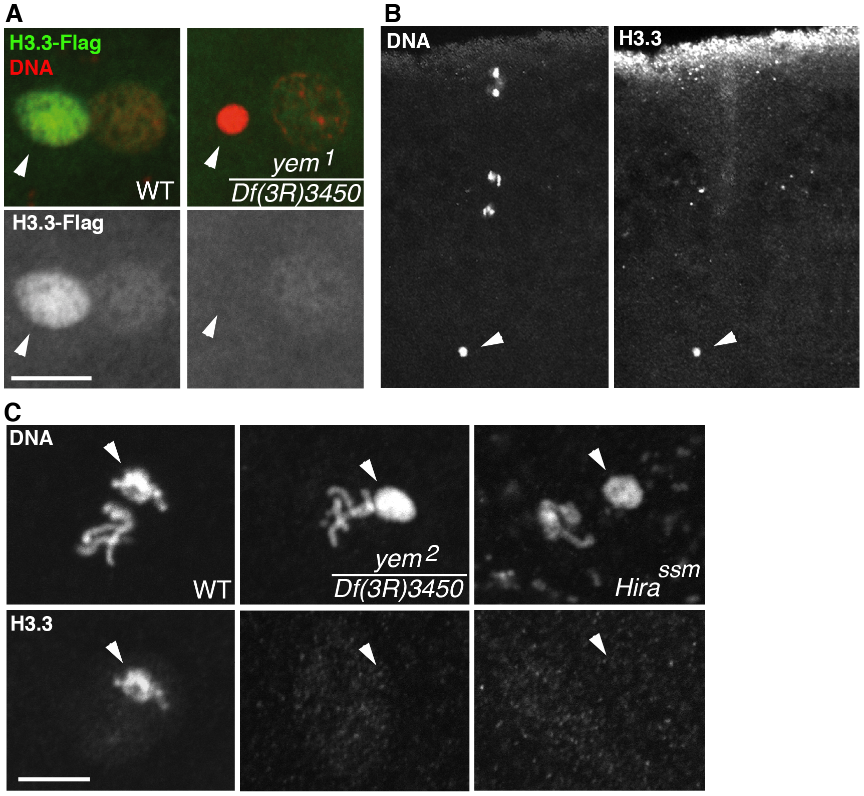 <i>yem</i> is required for H3.3 deposition in the male nucleus.