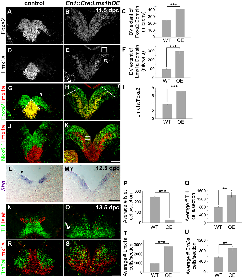 Maintenance of <i>Lmx1b</i> alters the size of the FP, the mDA progenitor pool, and ventral midbrain patterning.