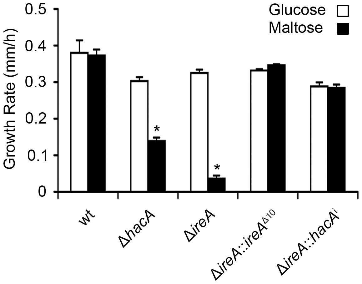 HacA and IreA promote growth on maltose medium.