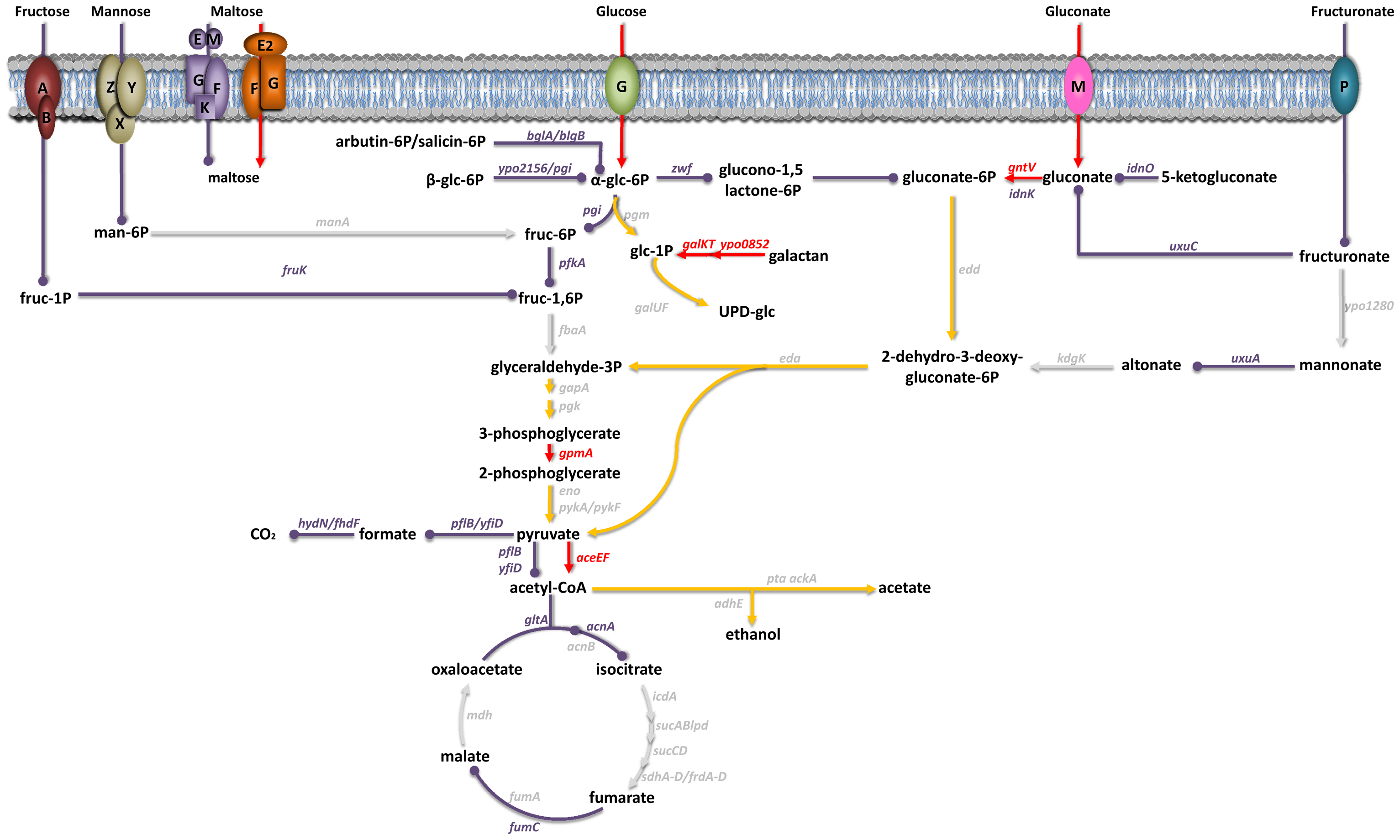 Carbohydrate uptake and metabolism by <i>Y. pestis</i> in its mammalian host.