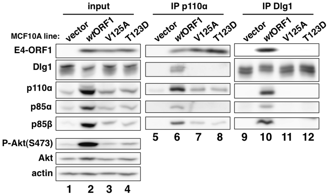 E4-ORF1 binds endogenous cellular PI3K and tethers it to Dlg1 to form a ternary complex in cells.
