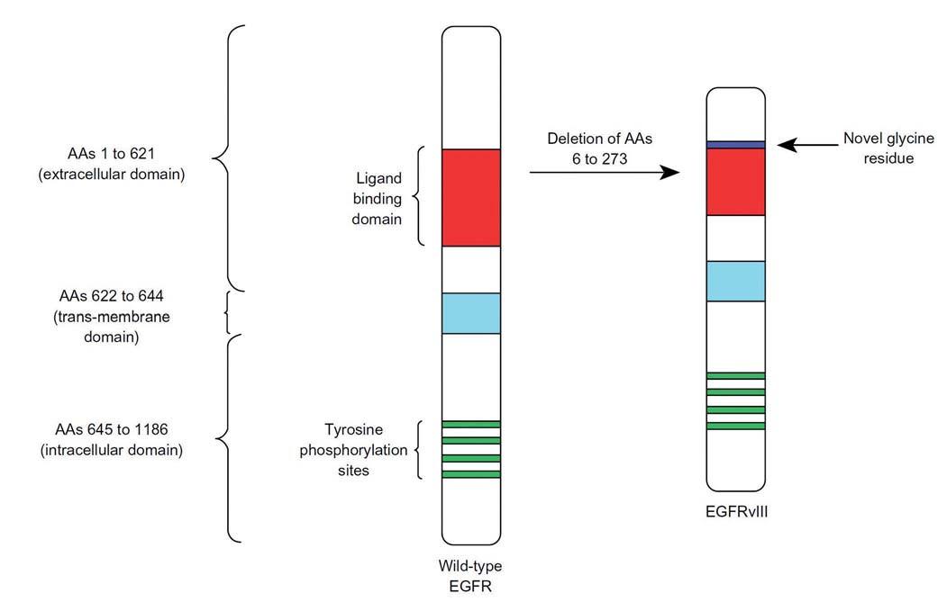 Schematické znázornění aminokyselinové delece na pozici 6 až 273 a inzerce nových glicinových zbytků v extracelulární doméně receptoru EGFR, čímž vzniká nový terapeutický cíl EGFRvIII. Převzato z [92].