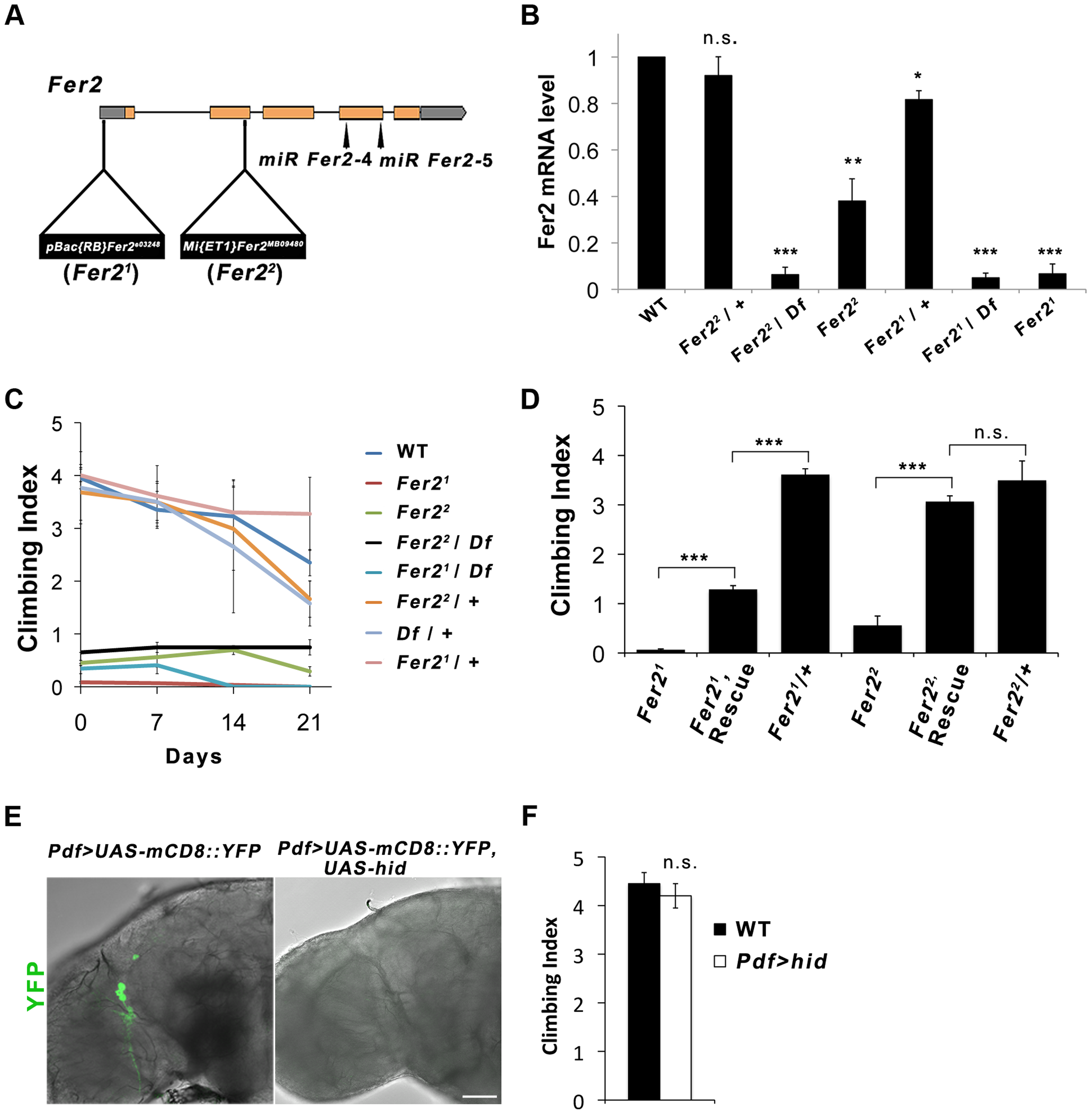 <i>Fer2</i> loss-of-function mutation impairs the startle-induced climbing ability.