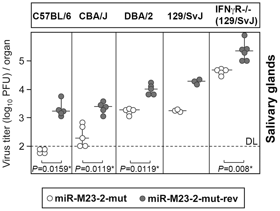 Attenuation of miRNA mutant MCMV in various mouse genetic backgrounds.