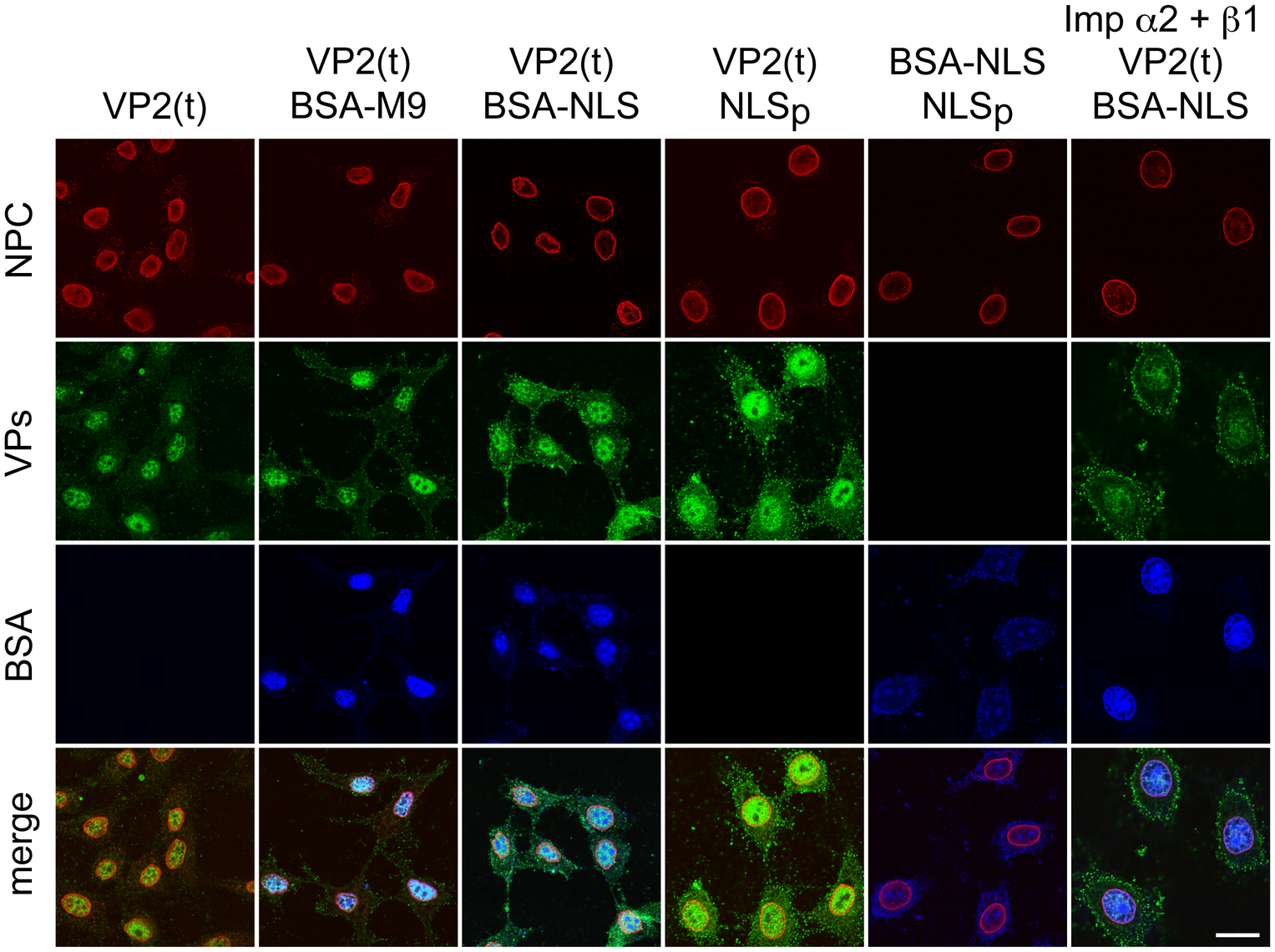 Importins α/2β1 and transportin are not involved in VP2 nuclear import.