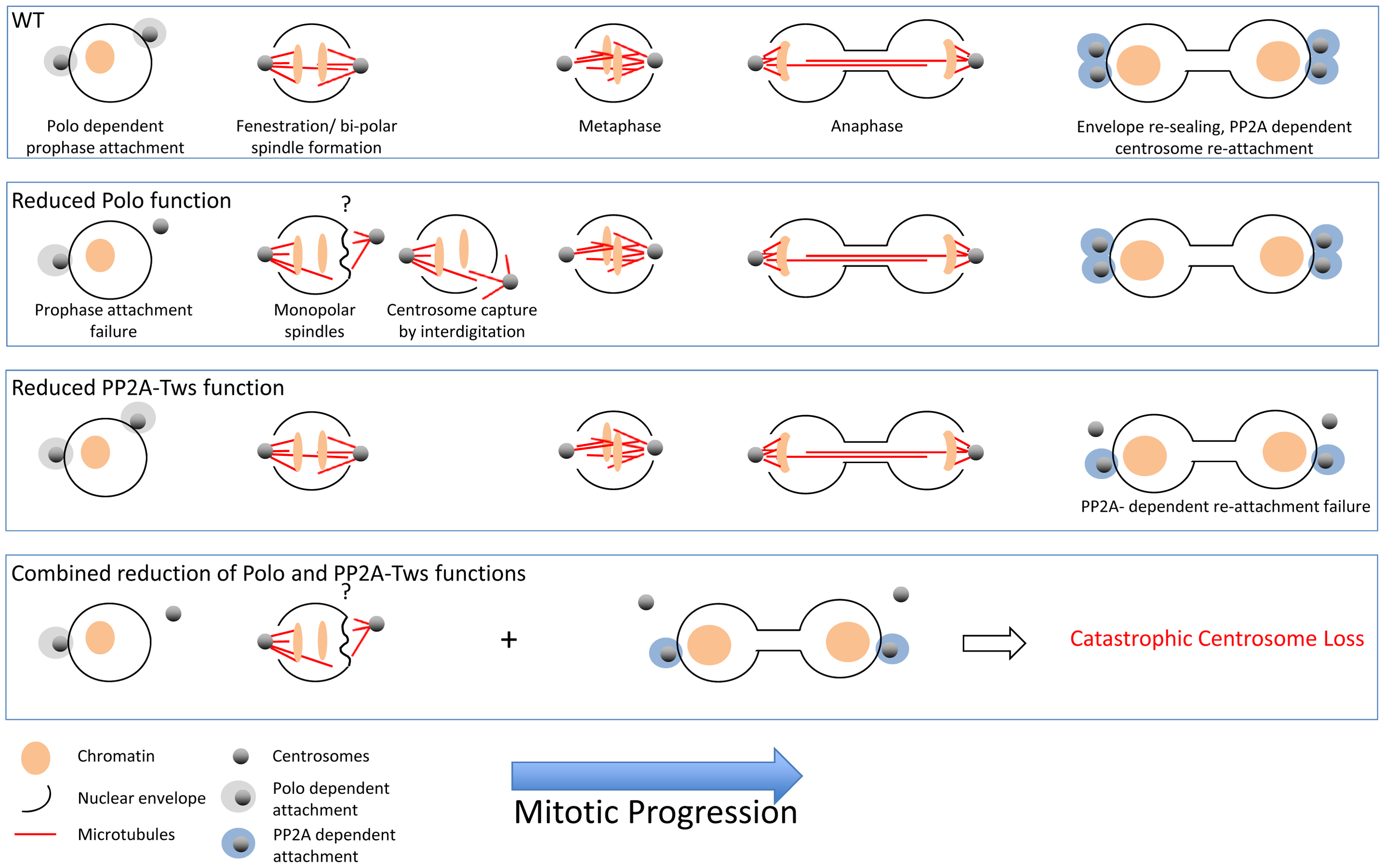 In wild-type syncitial embryos, the migration of centrosomes along the nuclear surface before their activation to nucleate microtubules co-incides with localised fenestration of the nuclear envelope beneath them.