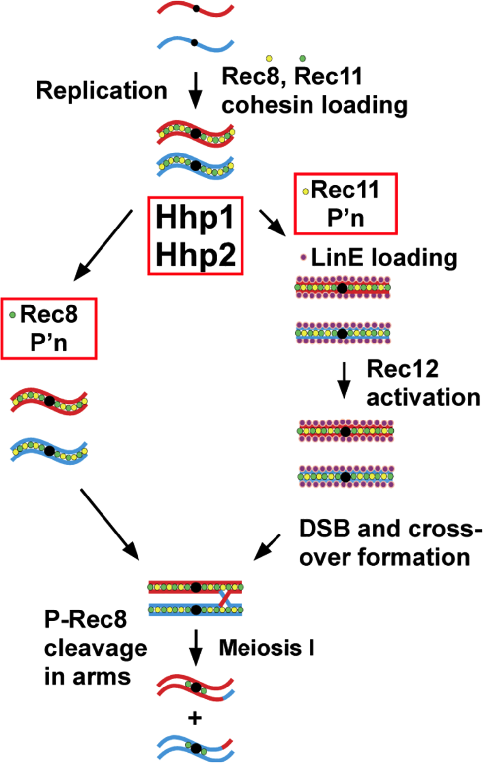 Scheme for dual action of casein kinase 1 (Hhp) on cohesin subunits to regulate meiotic chromosome segregation via Rec8 phosphorylation and to promote linear element formation, meiotic DSB formation, and recombination via Rec11 phosphorylation.