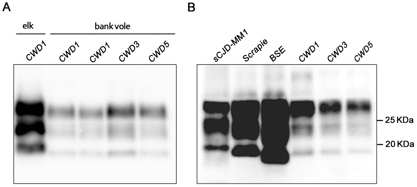 Western blot analysis of the PrP<sup>res</sup> level in the brain of CWD-affected voles.