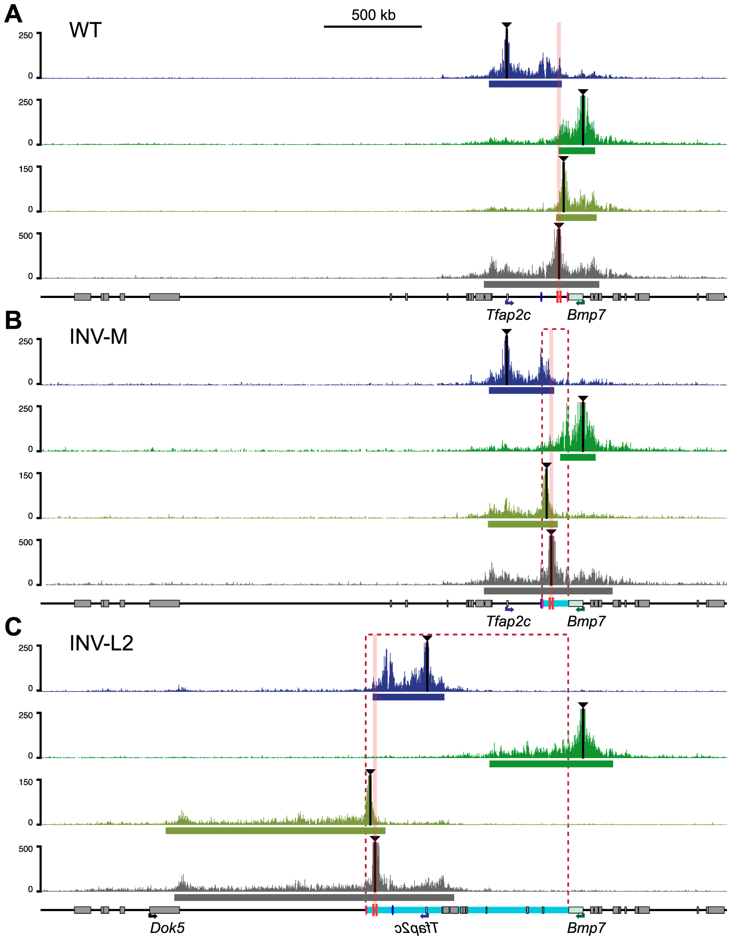 Redistribution of the interaction domains upon chromosomal inversions.