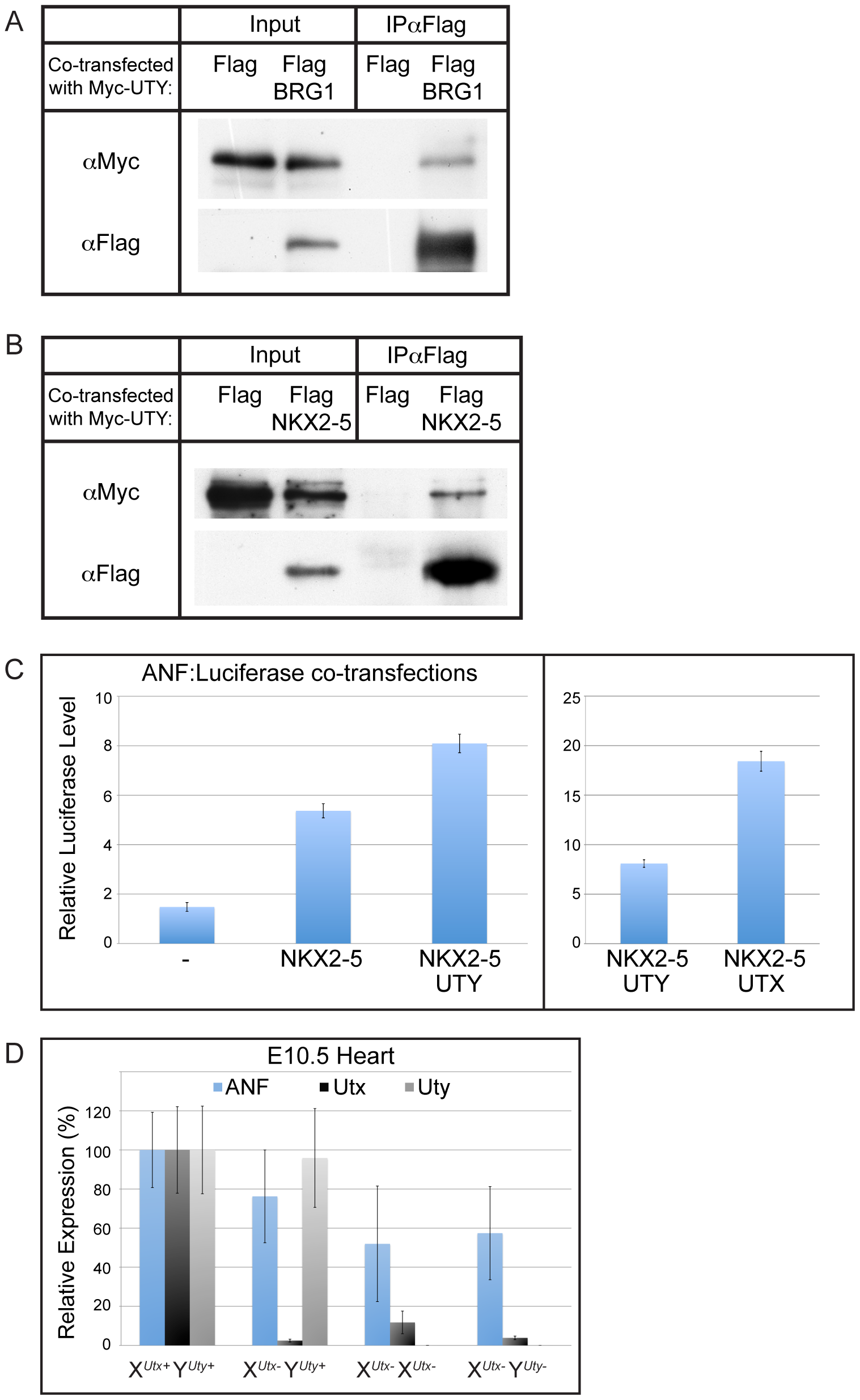 UTY associates with BRG1 and heart transcription factors, and regulates downstream ANF gene expression.