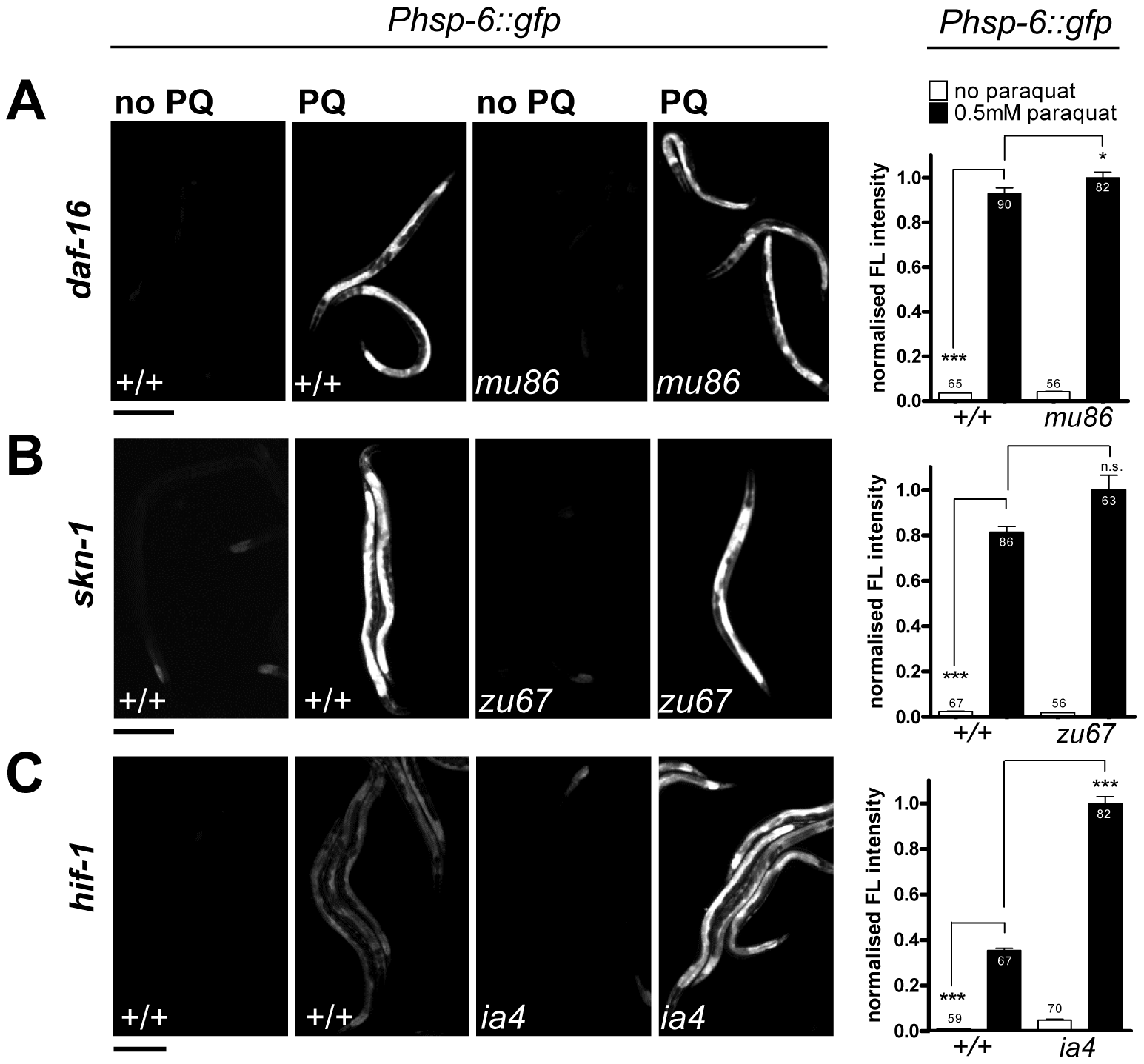 The <i>hsp-6</i> response to paraquat does not require the stress-inducible transcription factors SKN-1, DAF-16, or HIF-1.
