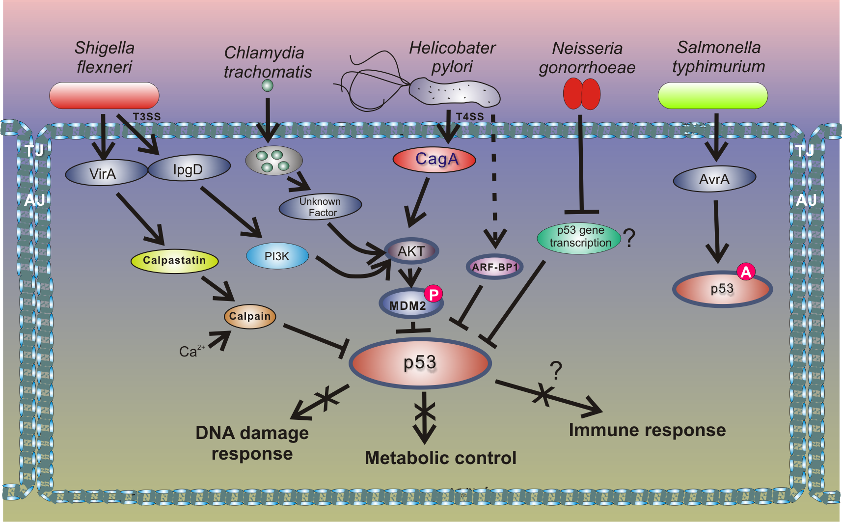 Outline of the interactions between bacterial pathogens and the p53 pathway.
