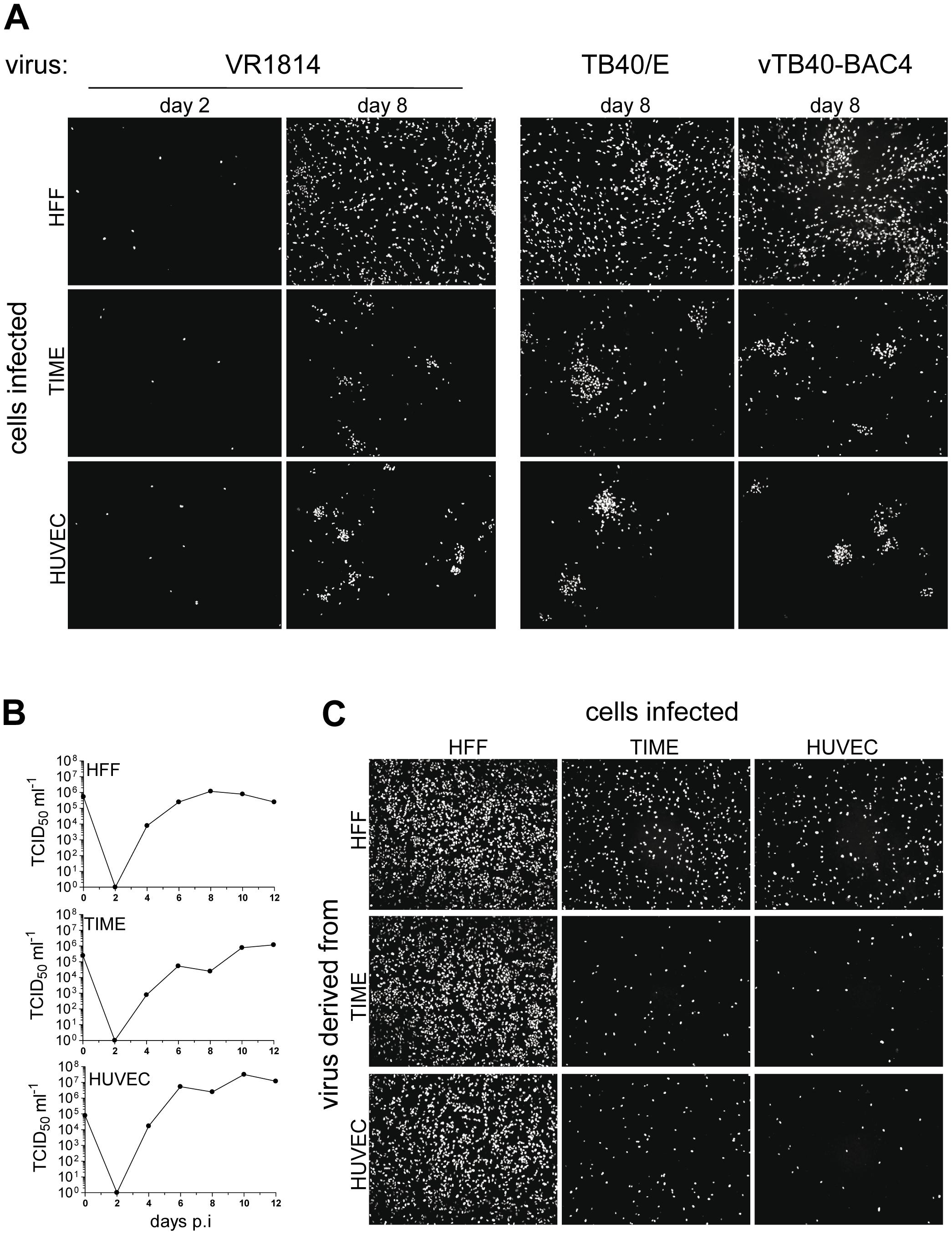 HCMV spread in fibroblast and EC cultures.