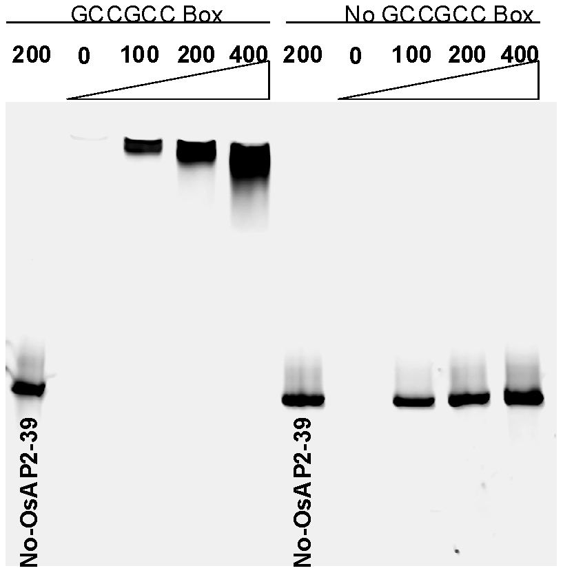 The recombinant OsAP2-39 protein specifically binds to the GCC-box <i>in vitro</i>.