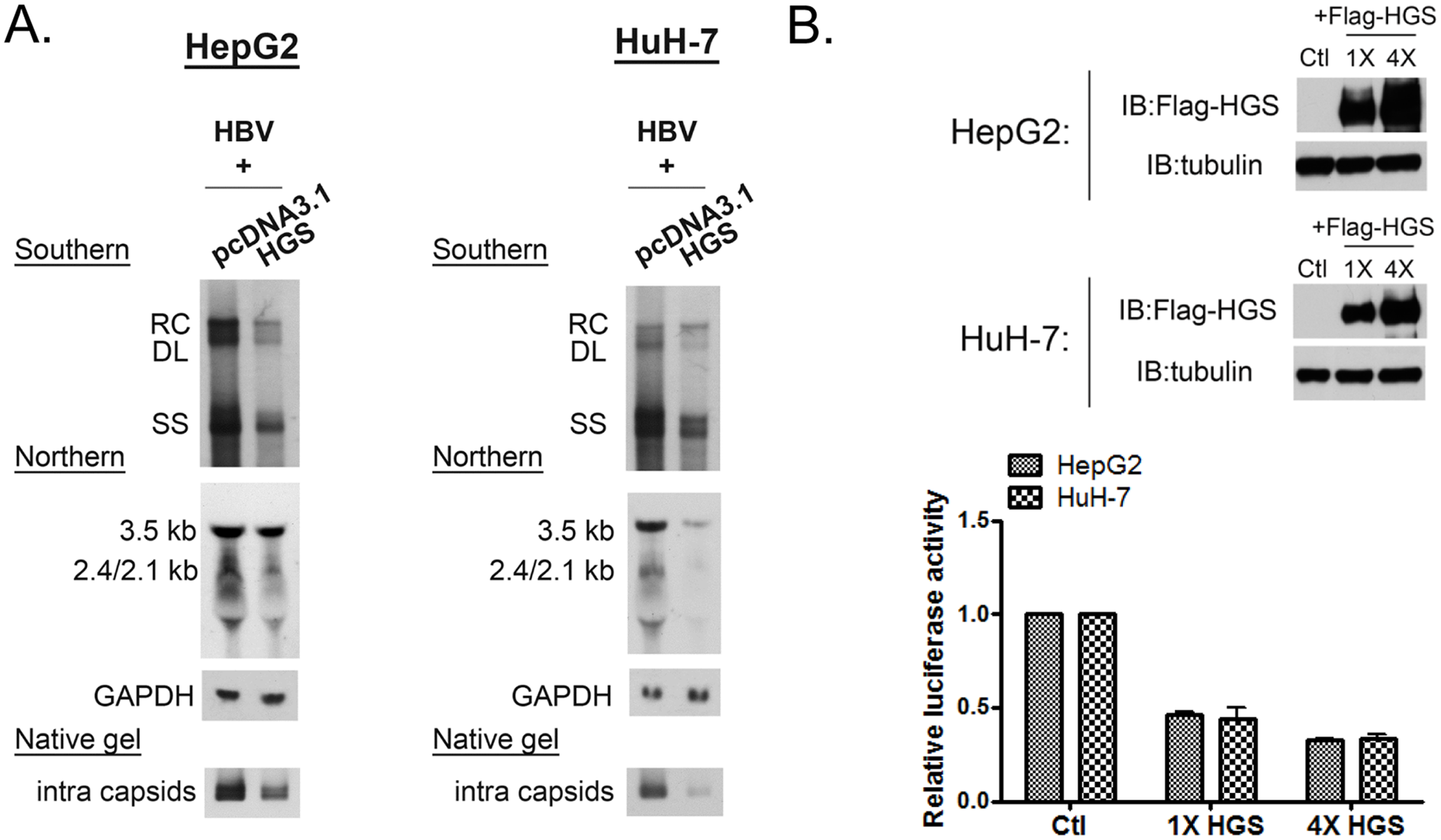Overexpressed HGS suppressed HBV transcription and replication.
