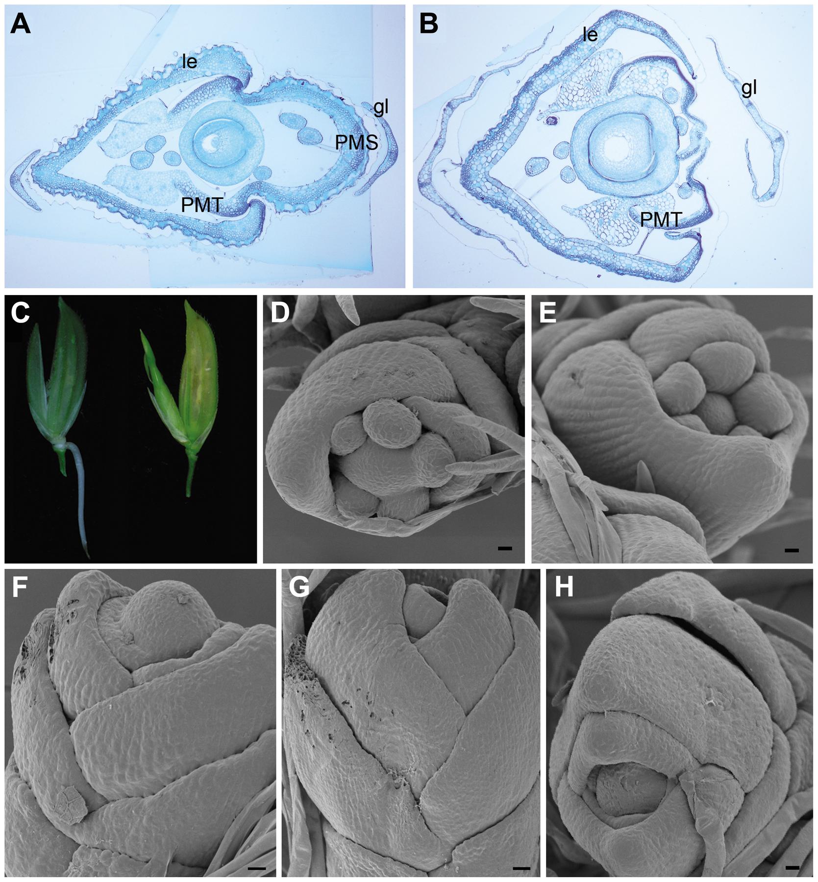 Spikelet morphologies of WT, <i>dep</i>, <i>afo</i>, and <i>pho</i> plants.