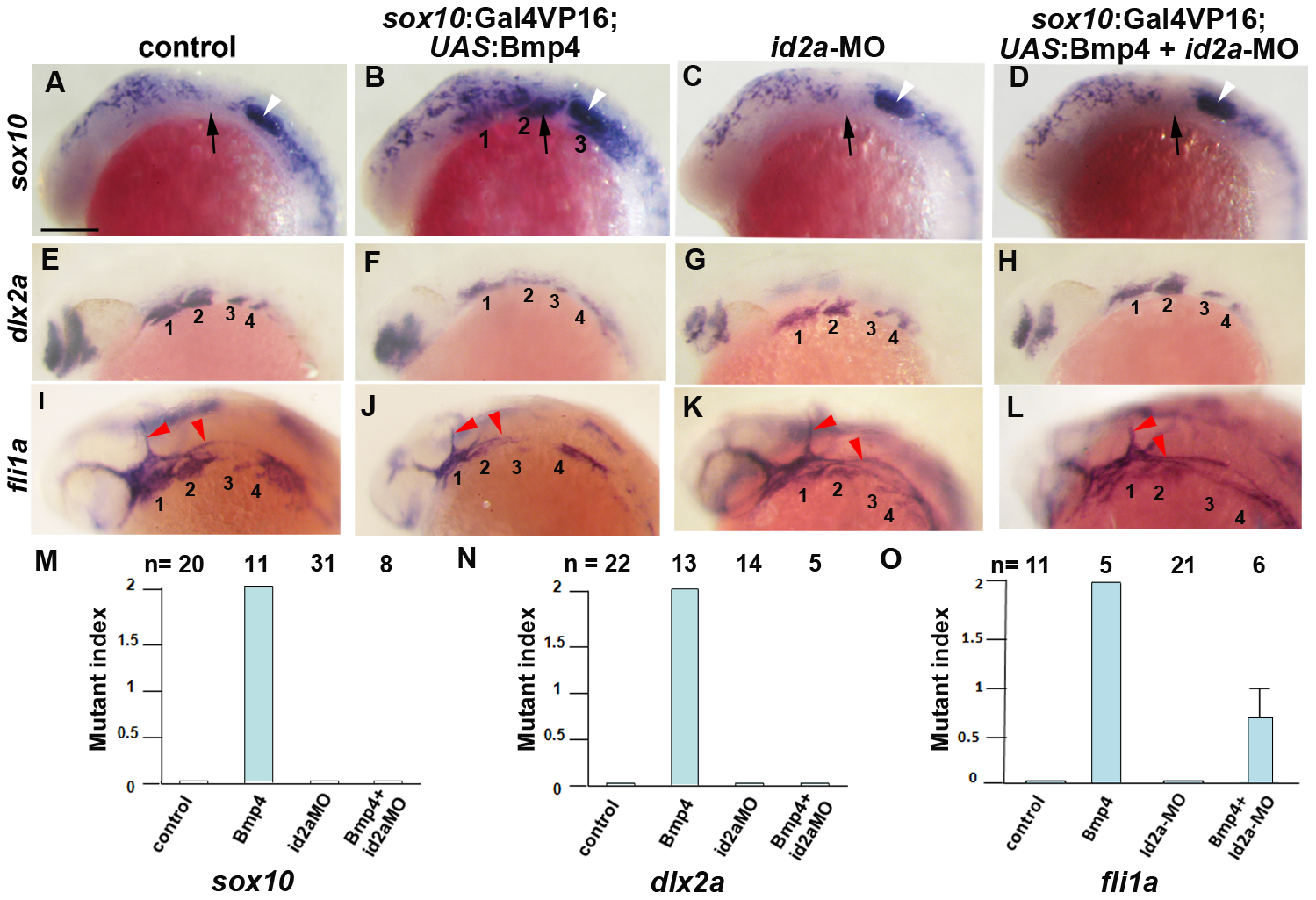 Reduction of Id2a rescues the ectomesenchyme defects caused by Bmp4 misexpression.