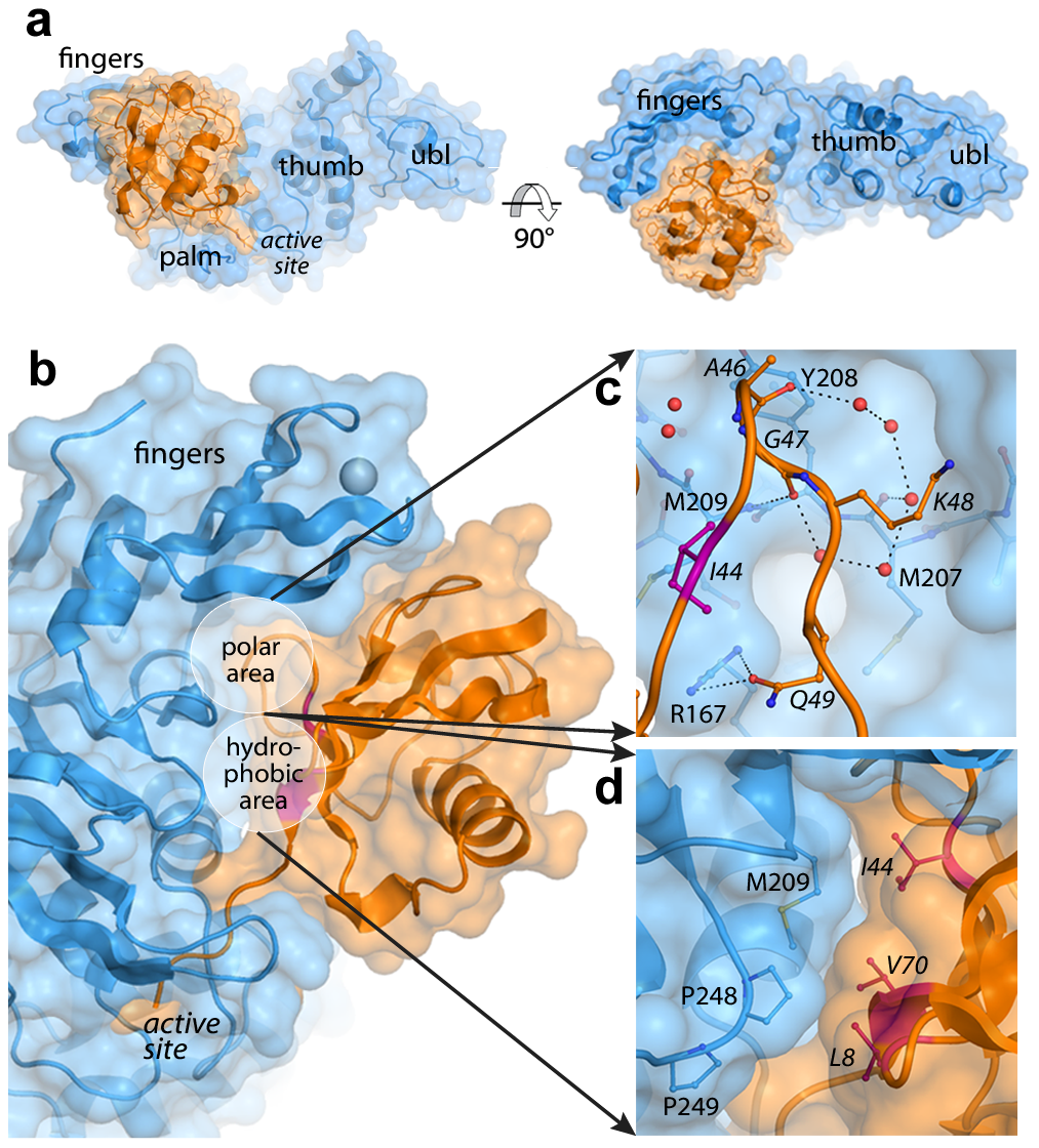 The PLpro-ubiquitin interface involves both polar and hydrophobic interactions.