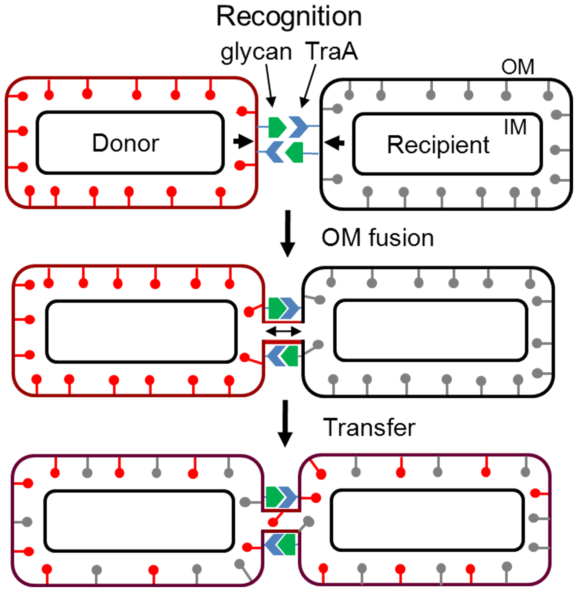 Working model for OM and lipoprotein transfer between <i>M. xanthus</i> biofilm cells.