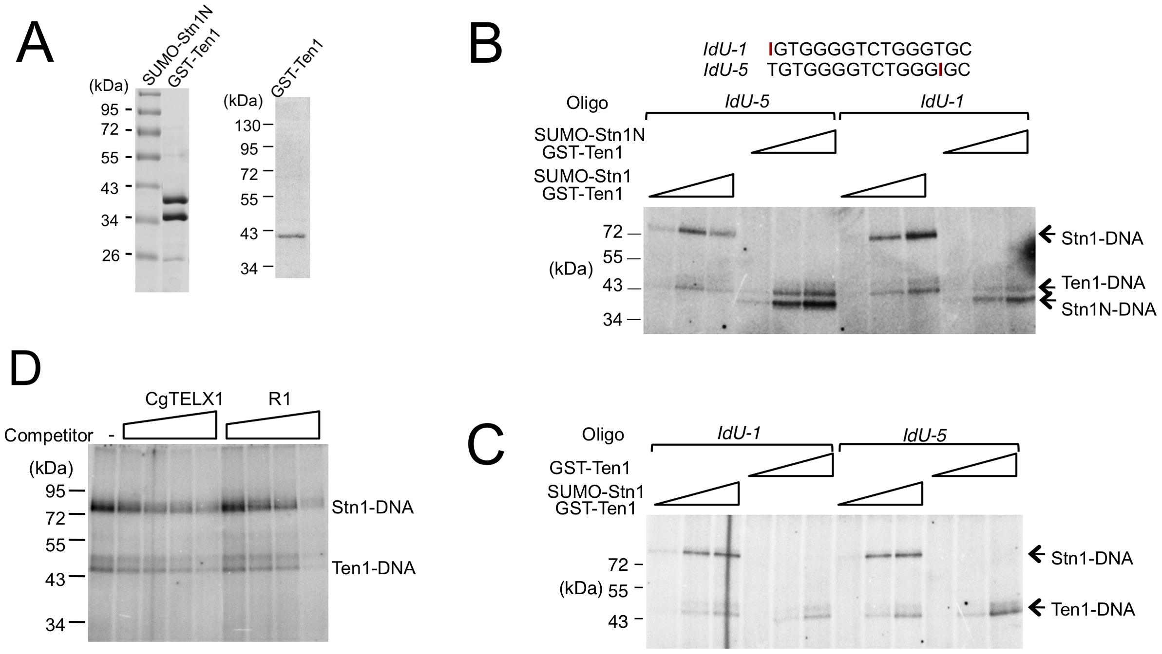 Crosslinking of <i>C. glabrata</i> Stn1 and Ten1 to photo-reactive telomere oligonucleotides.