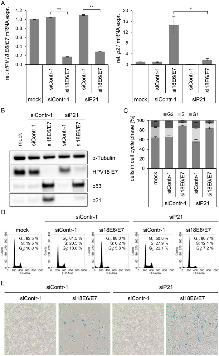 Influence of combined silencing of <i>p21</i> and HPV18 <i>E6/E7</i> expression on the senescent phenotype of HPV-positive cancer cells.
