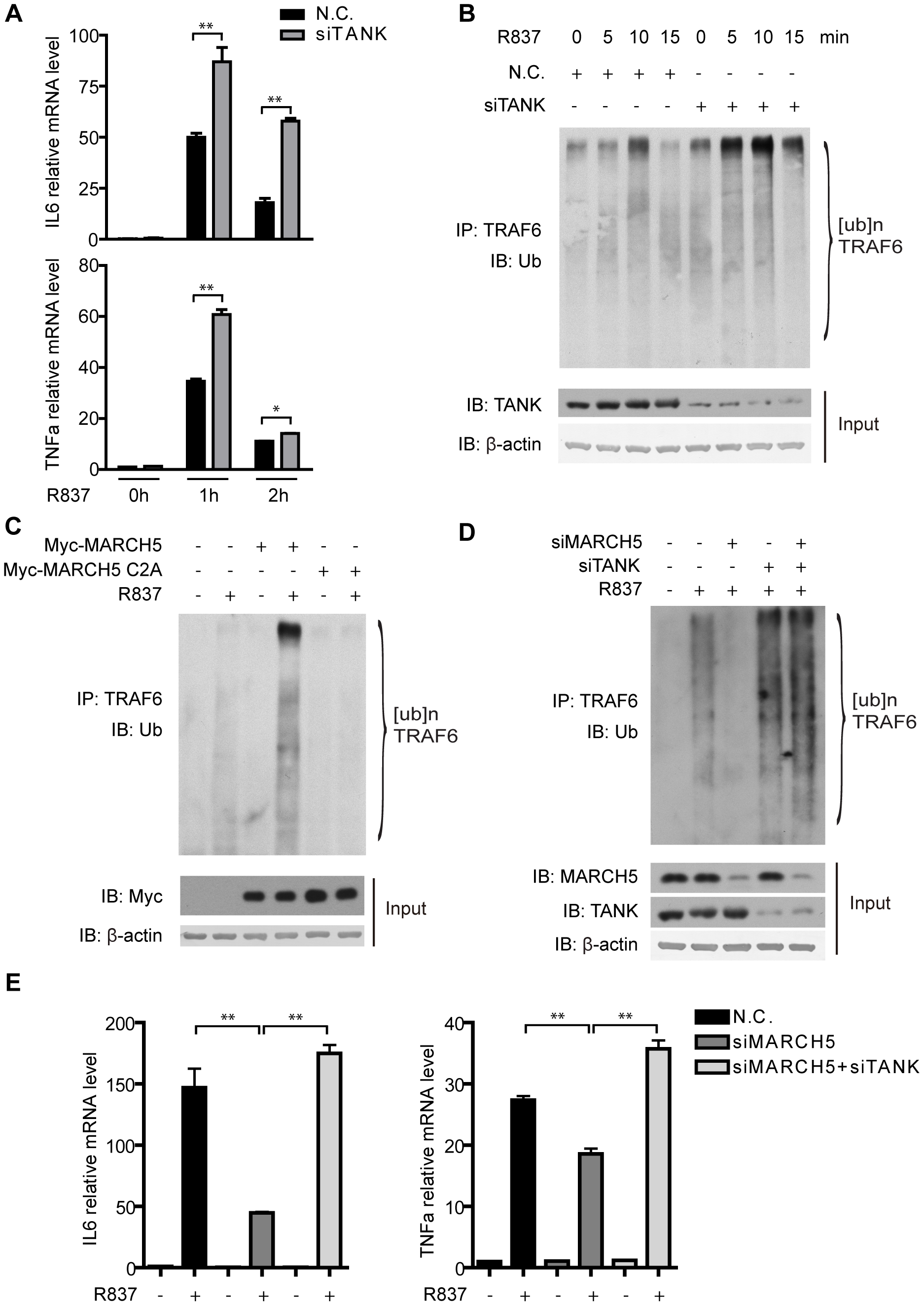 MARCH5 modulates the auto-ubiquitination of TRAF6.