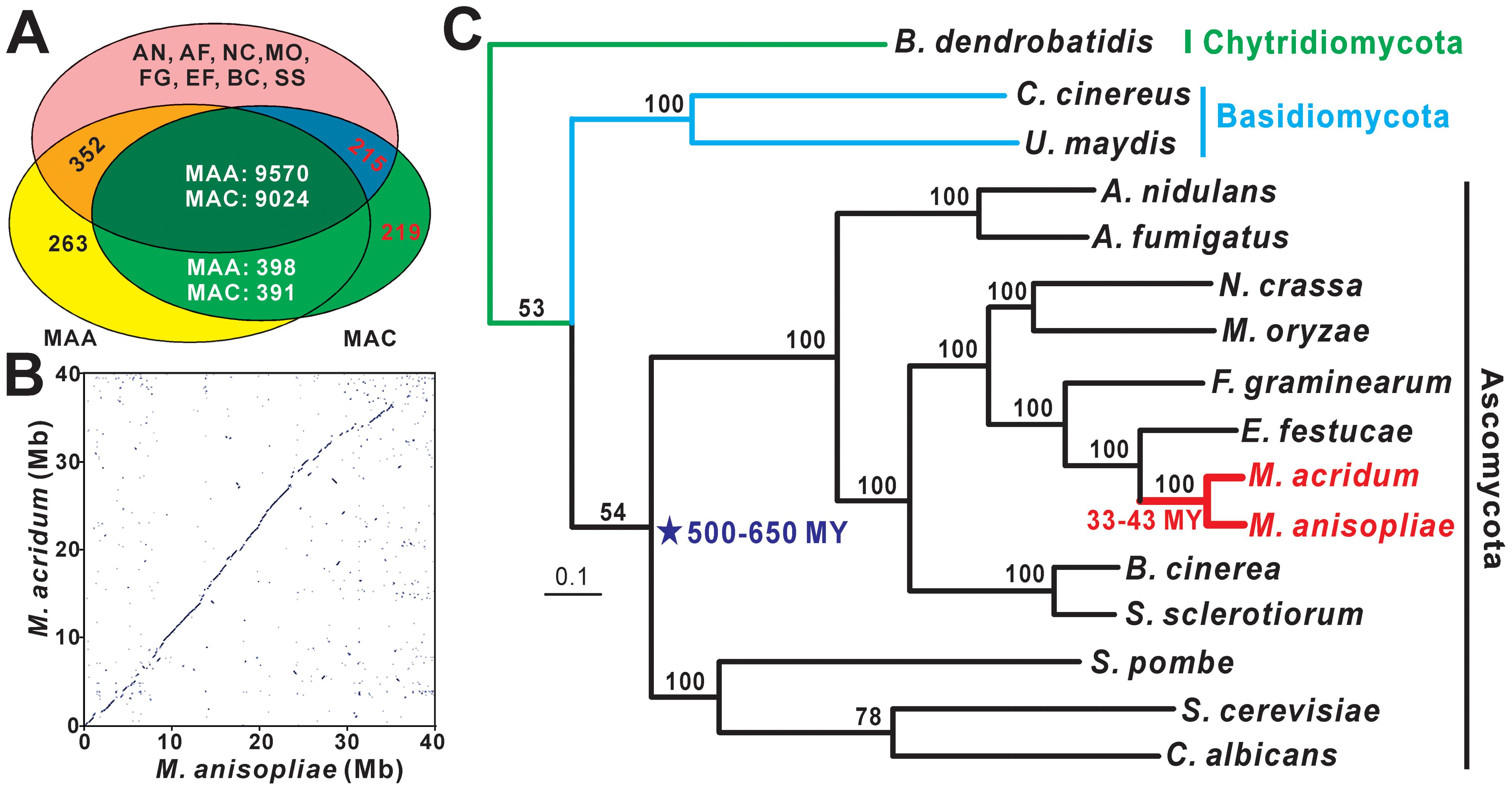 Homology, syntenic, and phylogenomic relationships of <i>M. anisopliae</i> and <i>M. acridum</i>.