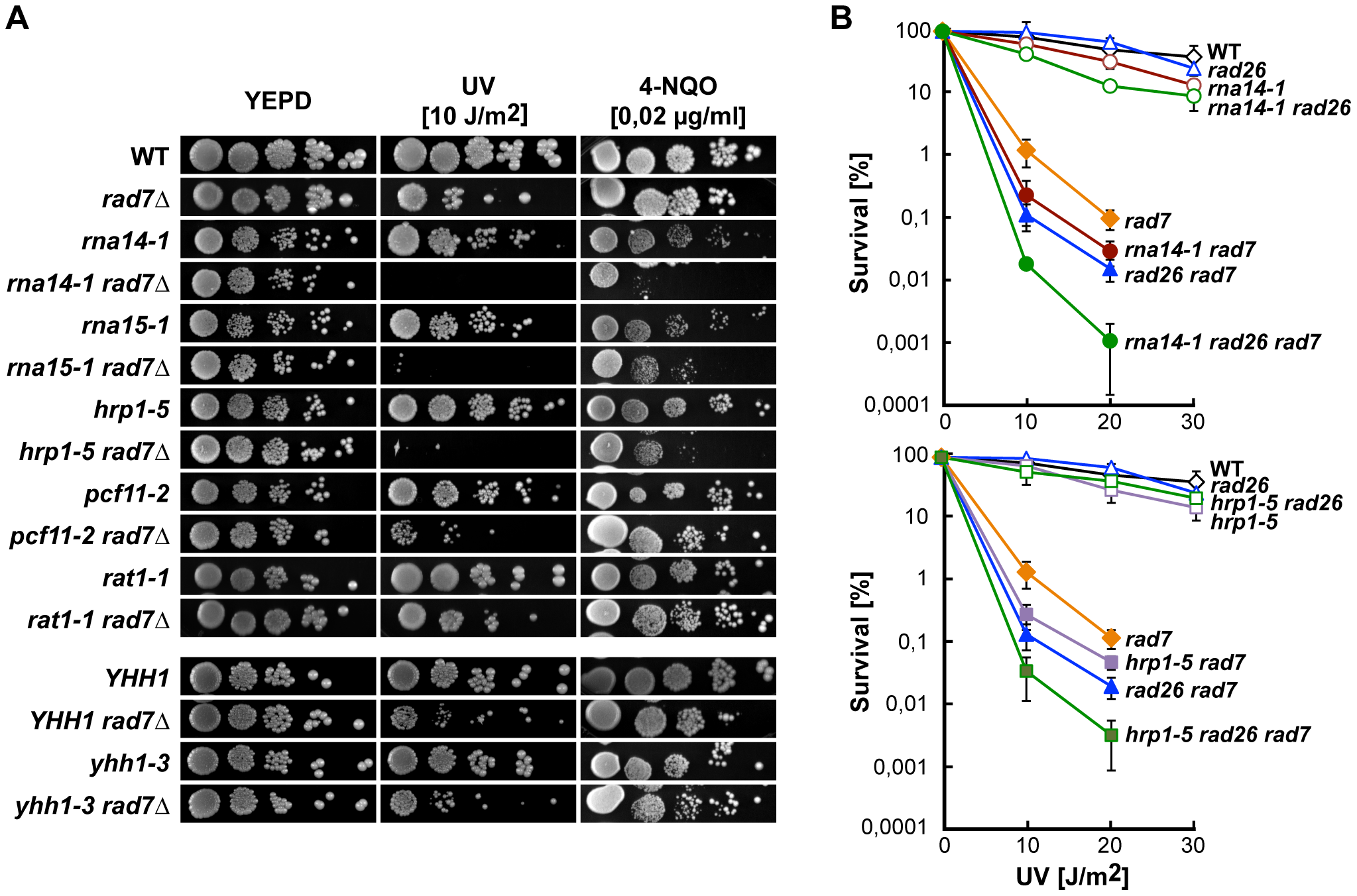 CFI mutations lead to UV sensitivity in the absence of global genome repair.