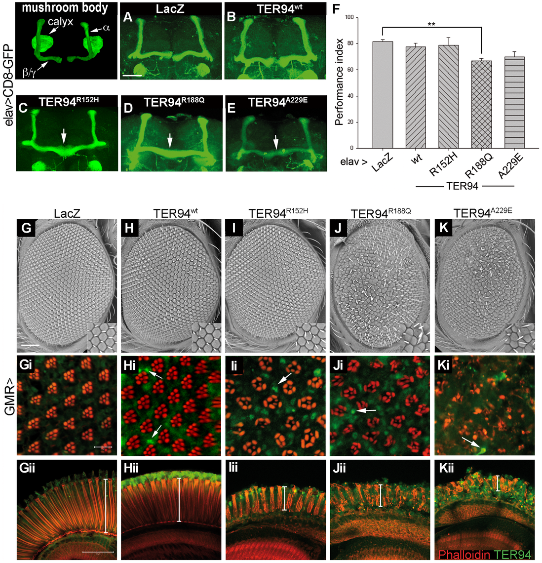 Tissue-specific expression of TER94 IBMPFD mutants impairs neuronal structure and function.