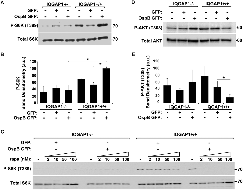 OspB activation of mTORC1.
