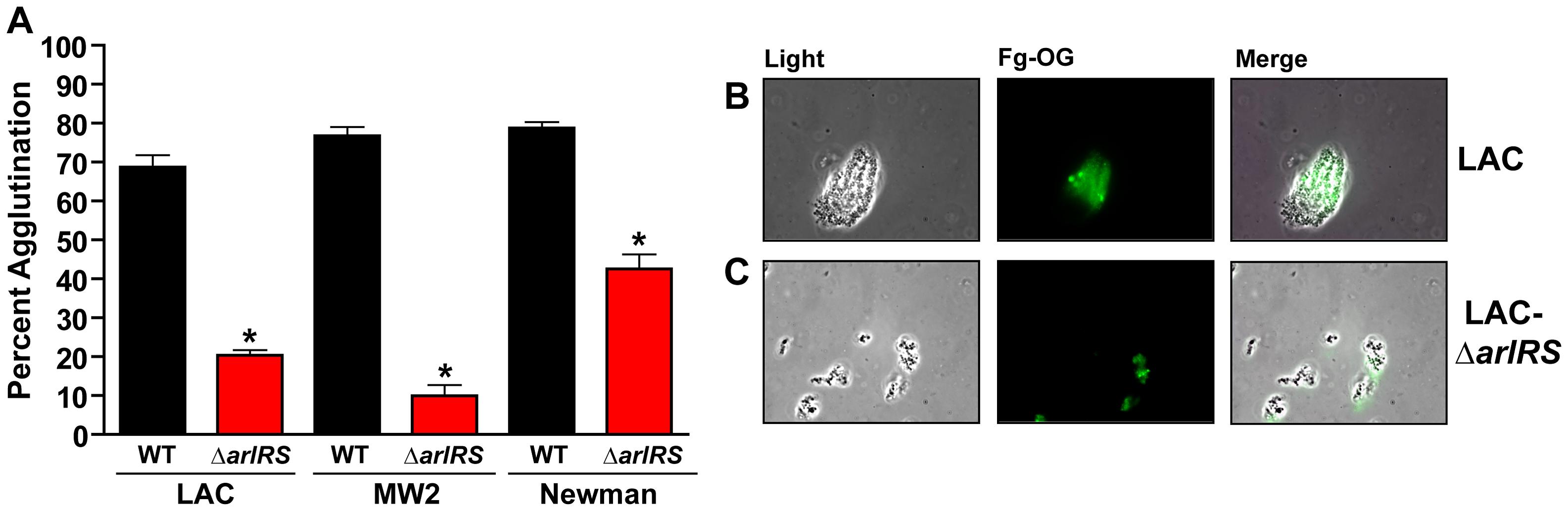 Fibrinogen is the major factor in HP contributing to <i>S. aureus</i> agglutination.