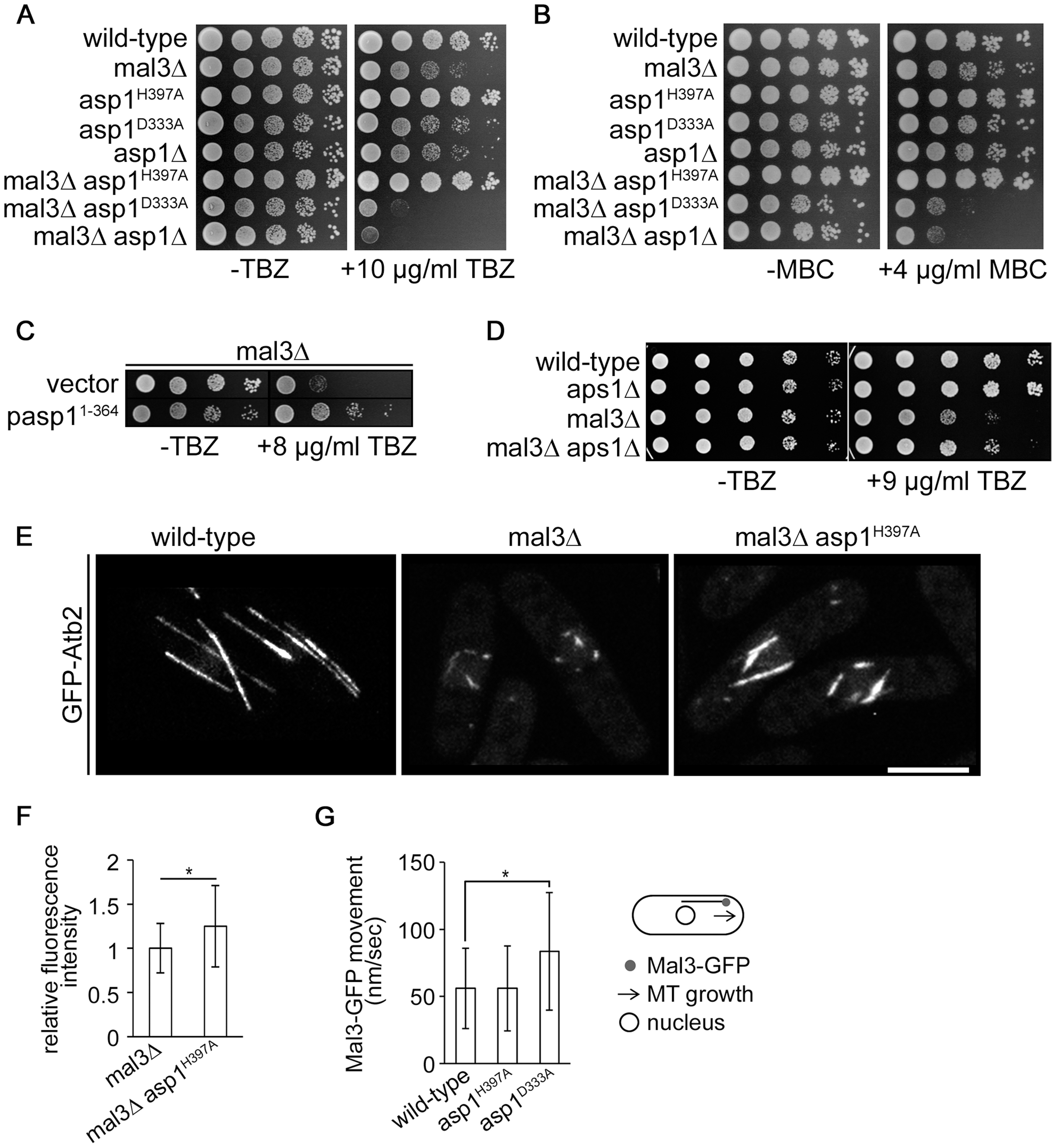 Asp1 MT regulation functions independently of Mal3.