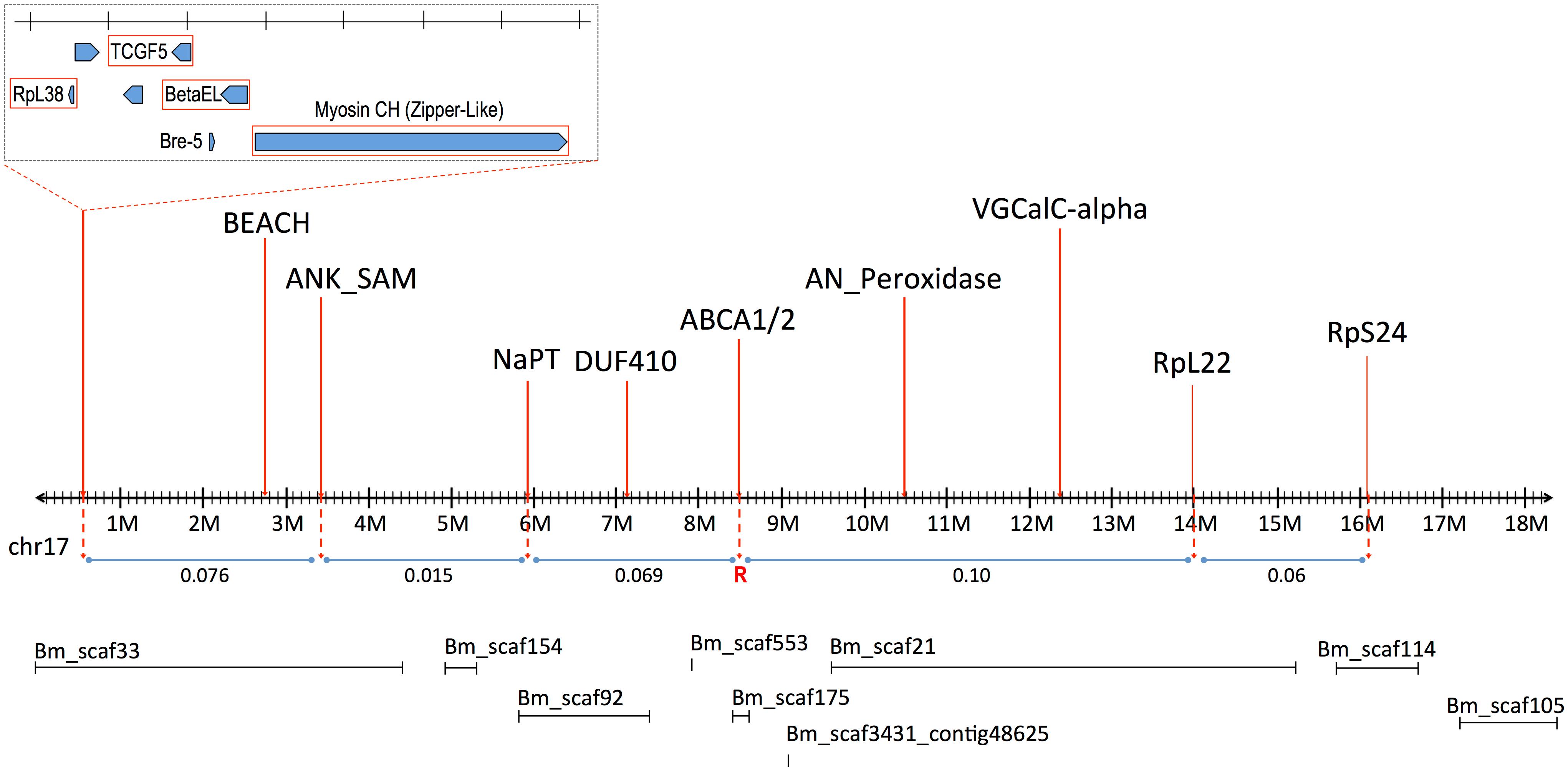 Linkage map of <i>B</i>. <i>mori</i> Chromosome 17 (BmChr17), showing syntenic genes used in mapping of <i>H</i>. <i>armigera</i>.
