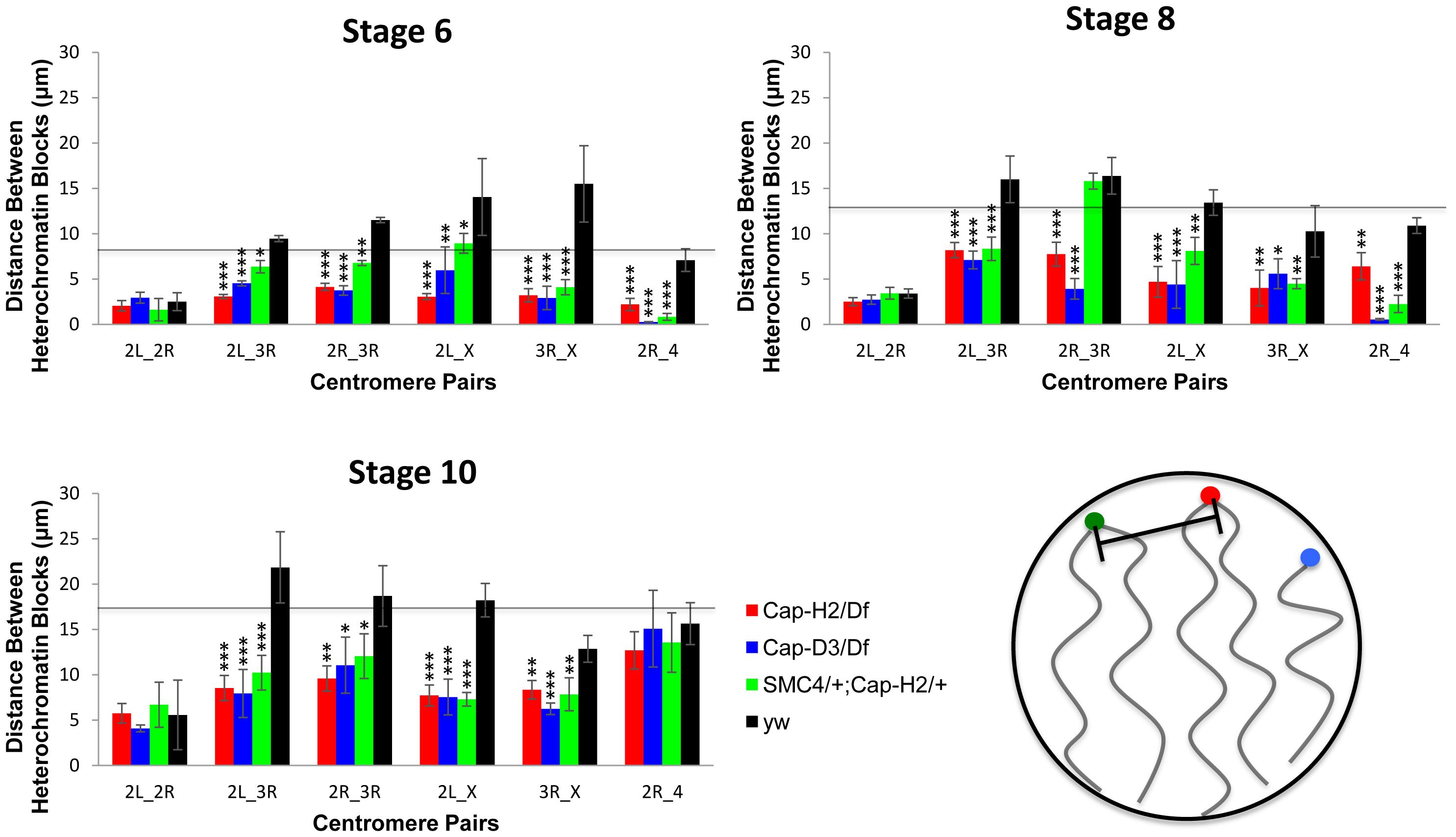 Condensin II promotes the dispersal of heterologous centromeres.
