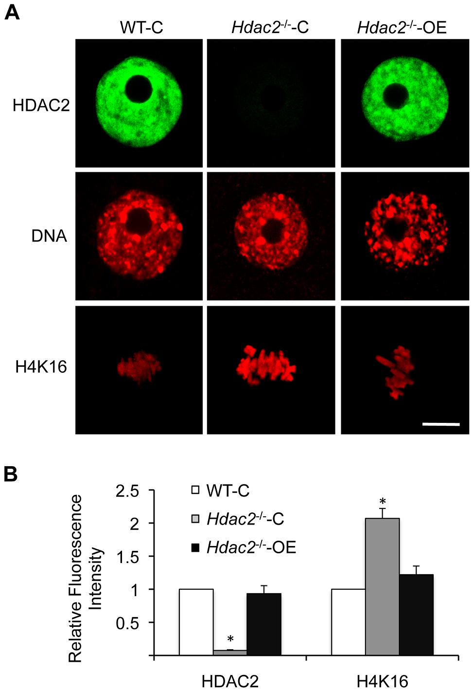 Expression of HDAC2 in <i>Hdac2</i><sup>−/−</sup> oocytes restores maturation-associated deacetylation of histone H4K16.