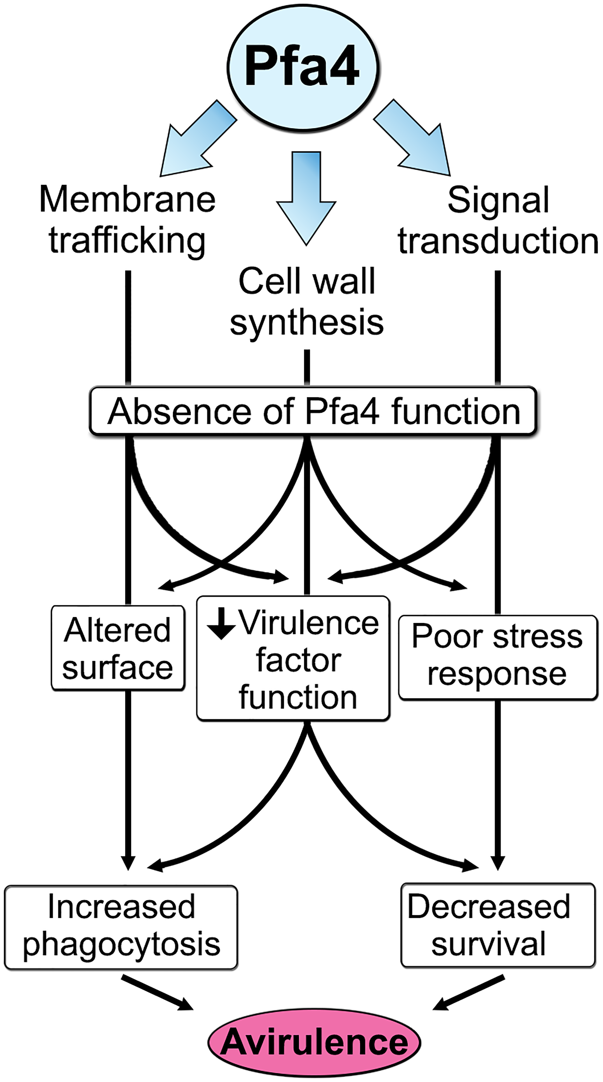 Model of Pfa4 function and relationship to morphology, stress tolerance, and virulence.
