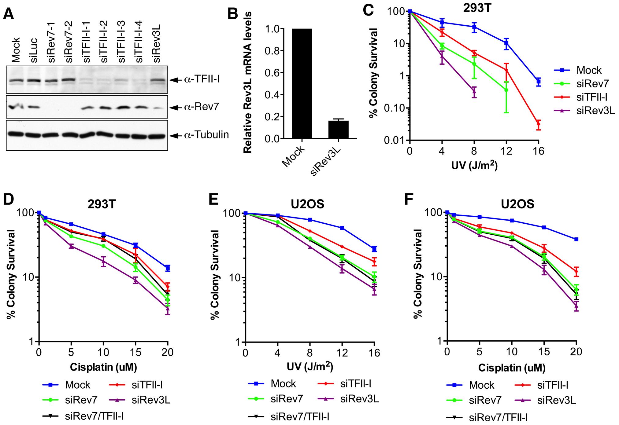 TFII-I depletion in human cells causes UV and cisplatin sensitivity.