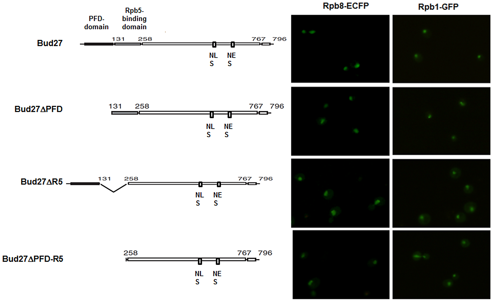 PFD, Rpb5-binding domains, or both are dispensable for RNA pol I, II, and III nuclear localization.