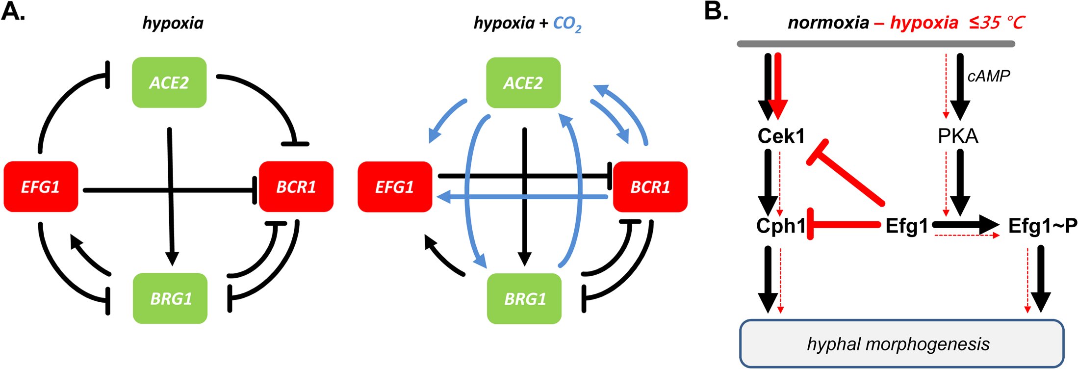 Models for transcriptional regulation and morphogenesis under hypoxia.