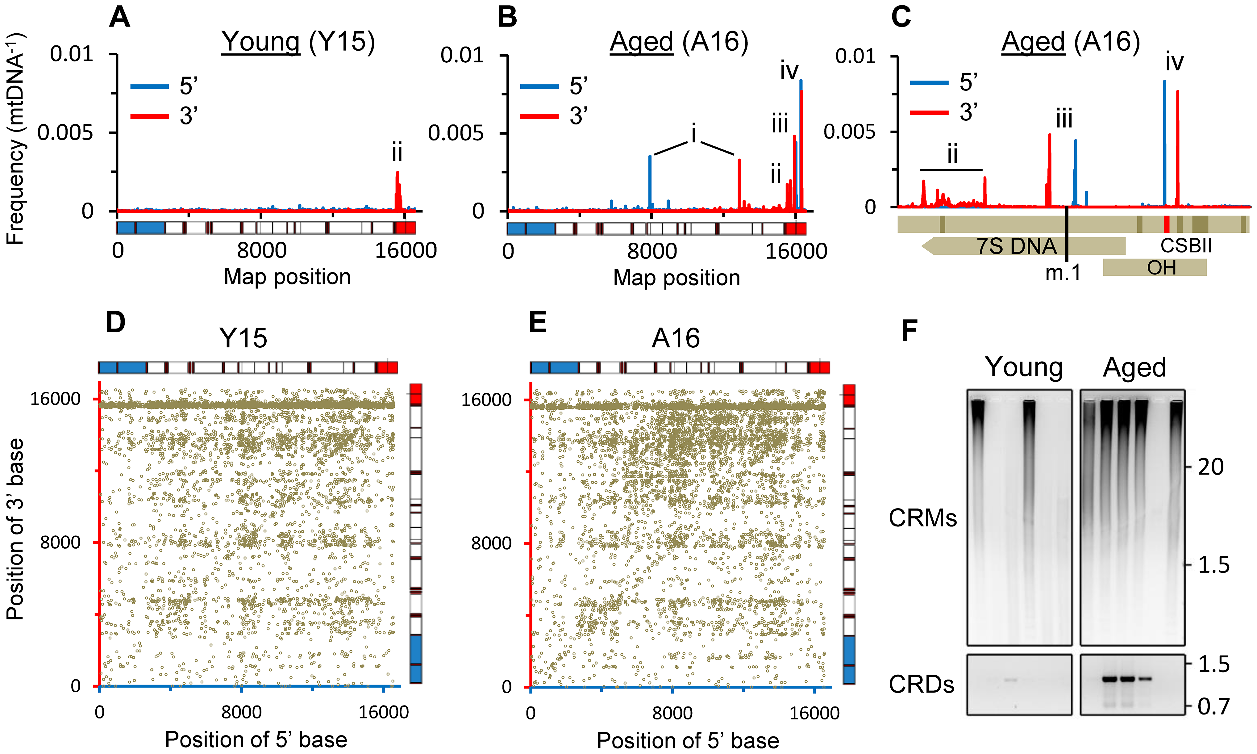 Characteristic landscape of mtDNA rearrangements in putamen.