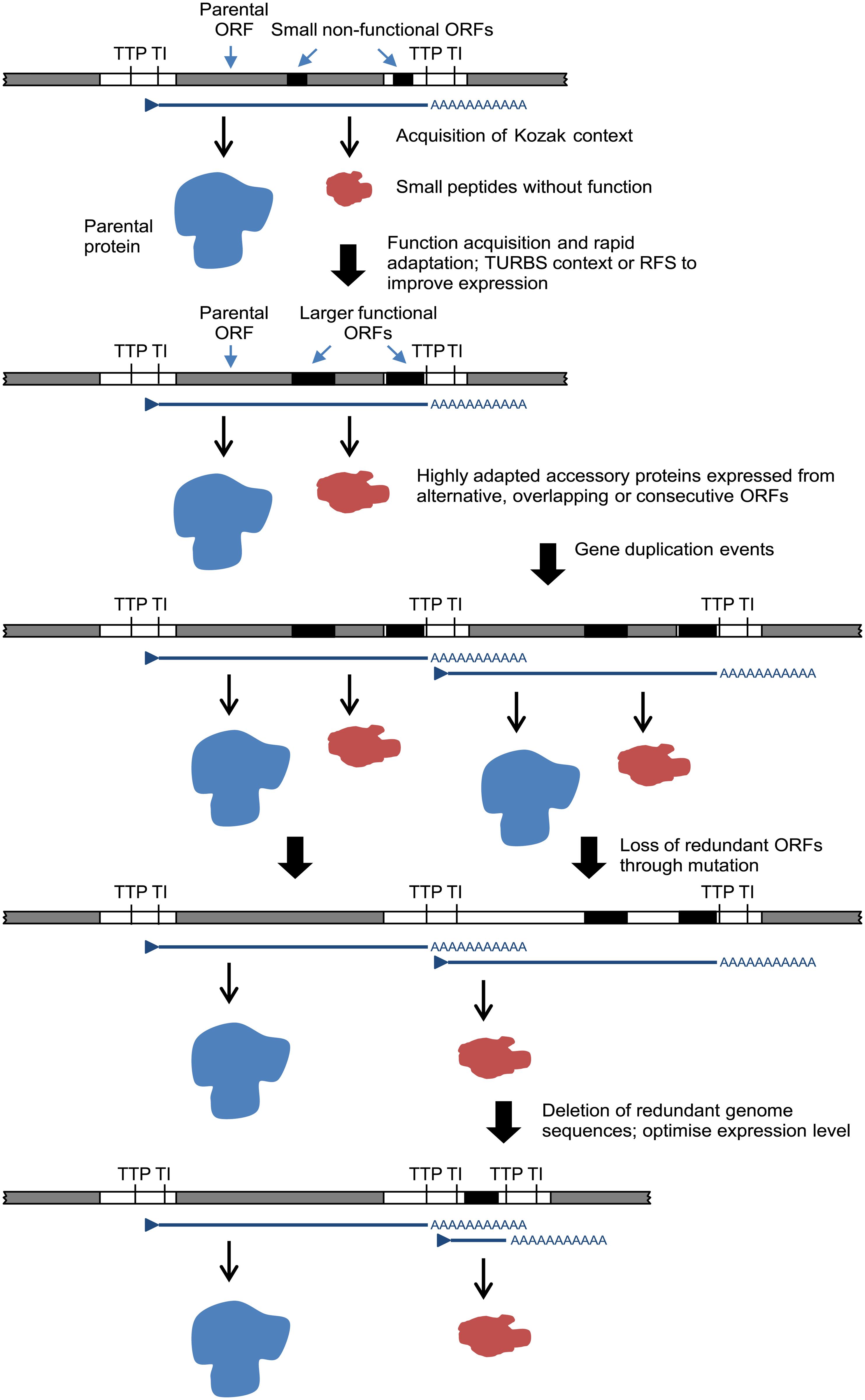 A model for the evolution of rhabdovirus accessory genes.