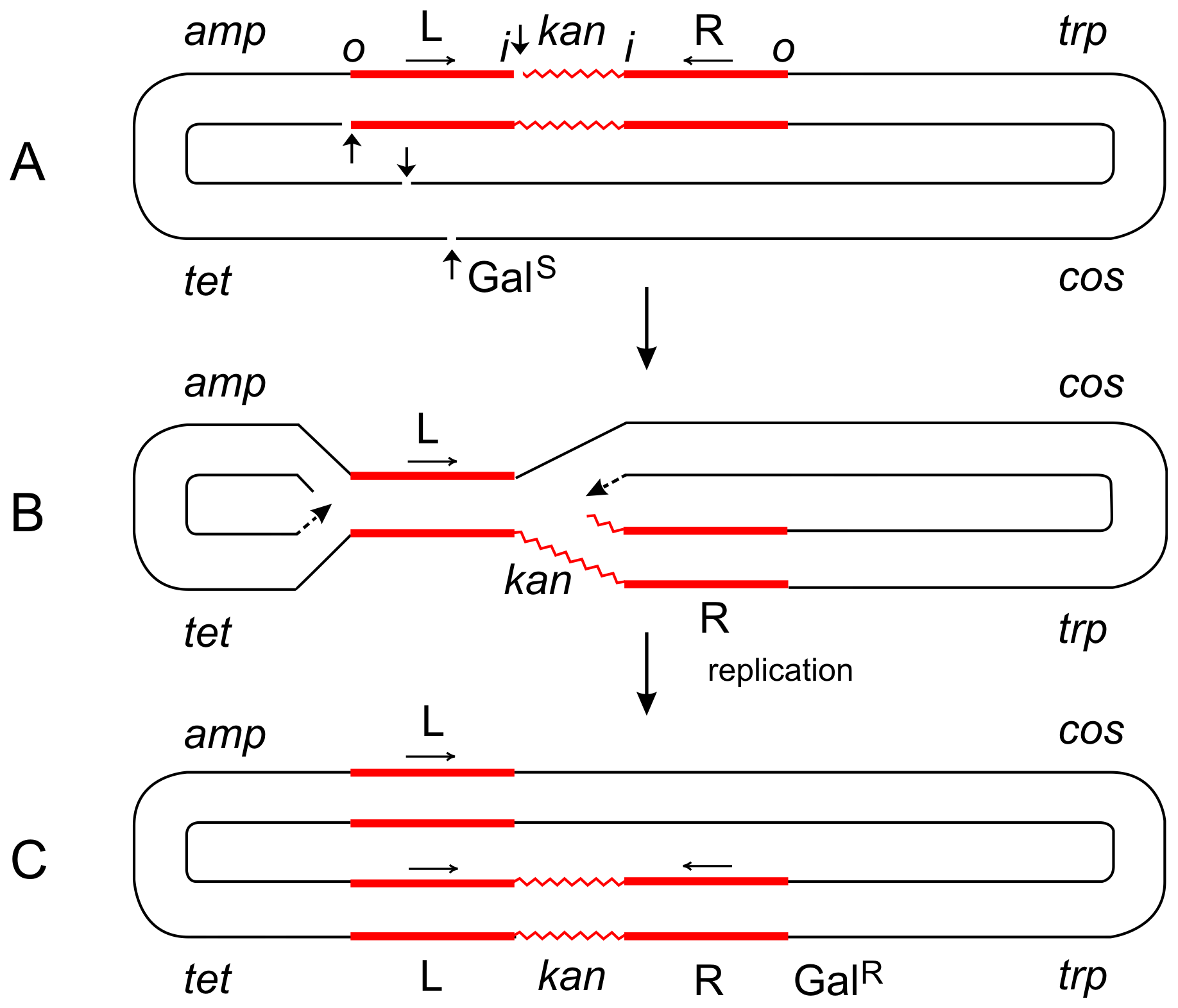 Steps in the formation of the Tn<i>5</i>-promoted replicative inversion <i>621</i>.