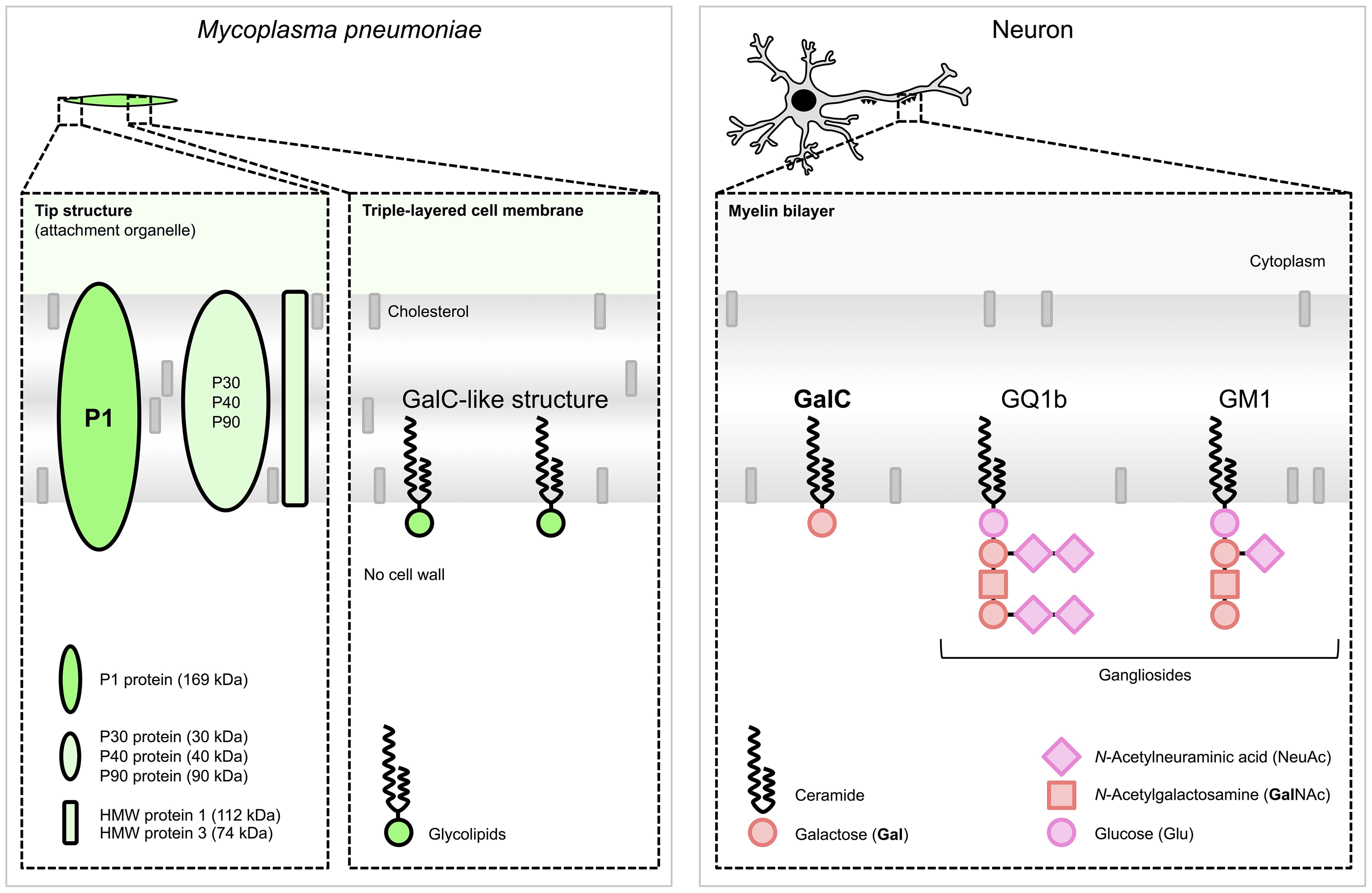 Schematic structures responsible for molecular mimicry between <i>M. pneumoniae</i> and neuronal cells.
