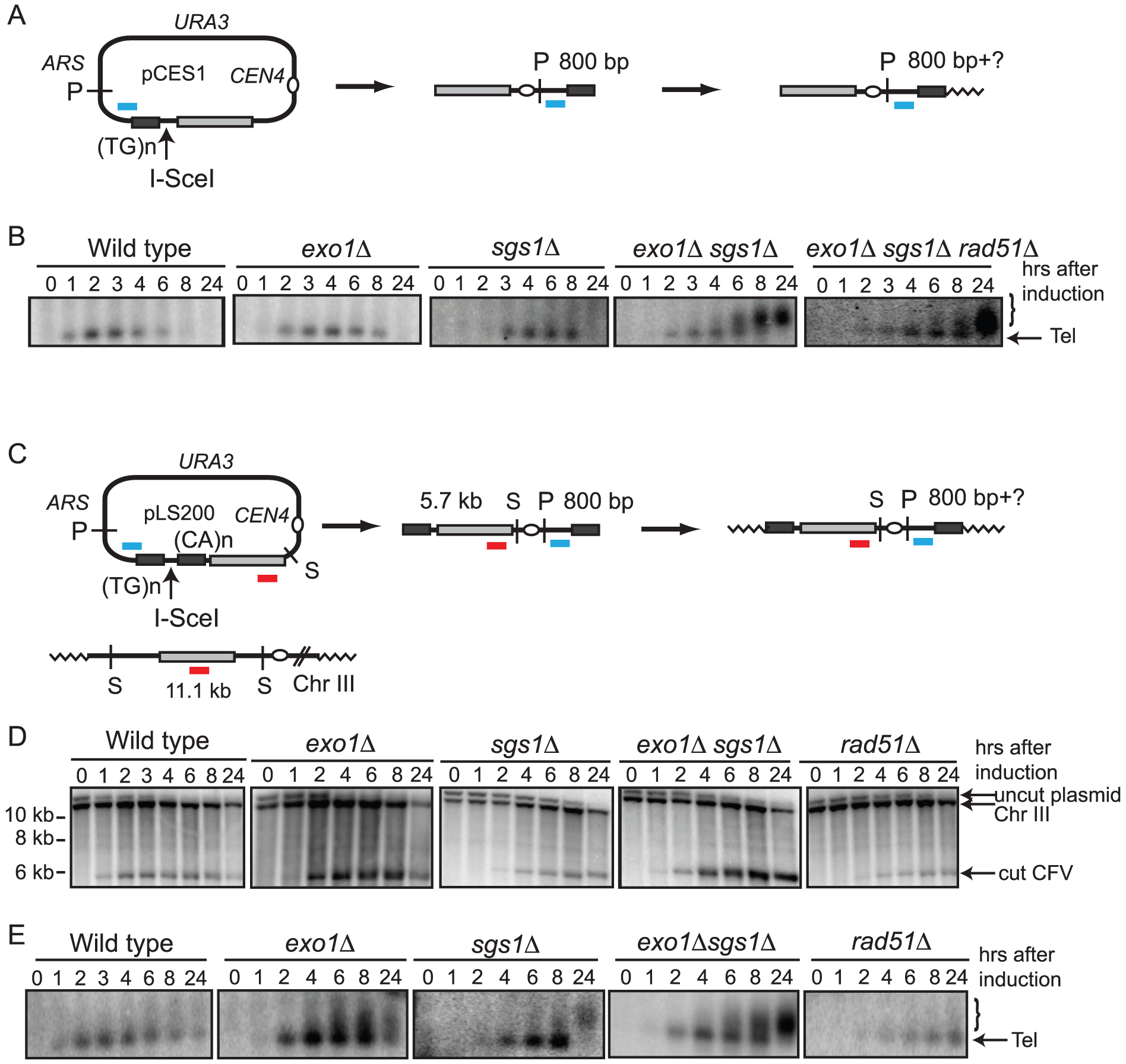 Analysis of telomere addition.