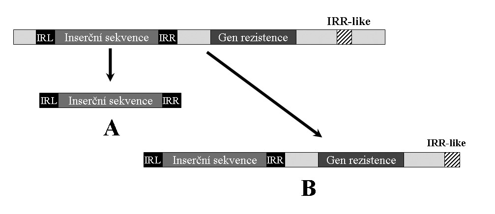 Transpozice inserční sekvence nesprávným rozpoznáním IRR podobné sekvence. IRR-like – sekvence podobná pravé invertované repetici, IRL – invertovaná repetice levá, IRR – invertovaná repetice pravá. A – přenos pouze samotné inserční sekvence, B – transposázou chybně rozpoznaná IRR-like místo IRR, vedoucí k přenosu celého segmentu. <b>Fig. 4.</b> Insertion sequence transposition due to misrecognition of an IRR-like sequence. IRR-like sequence – right inverted repeat-like, IRL – left inverted repeat, IRR – right inverted repeat. A – transposition of the insertion sequence alone, B – an IRR-like sequence misrecognized by transposase as the IRR sequence and subsequent transposition of the whole segment.