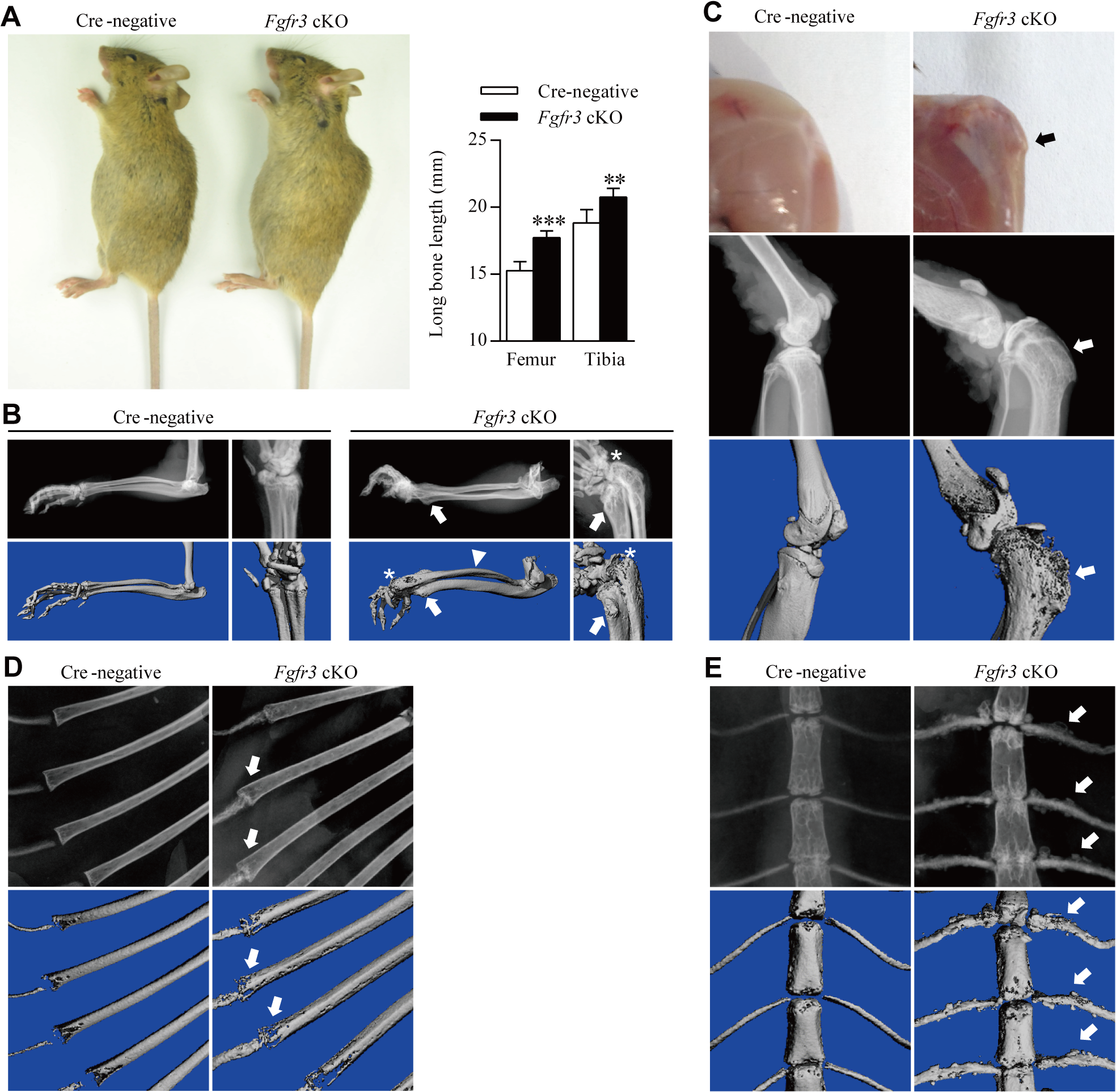 Gross morphology and radiographic assessment of skeletal phenotypes in <i>Fgfr3</i> cKO mice.