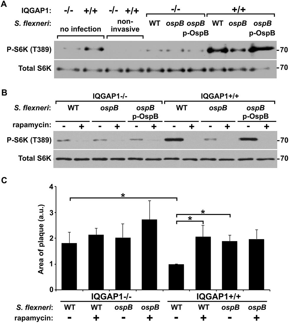 OspB activates mTOR during <i>S</i>. <i>flexneri</i> infection.