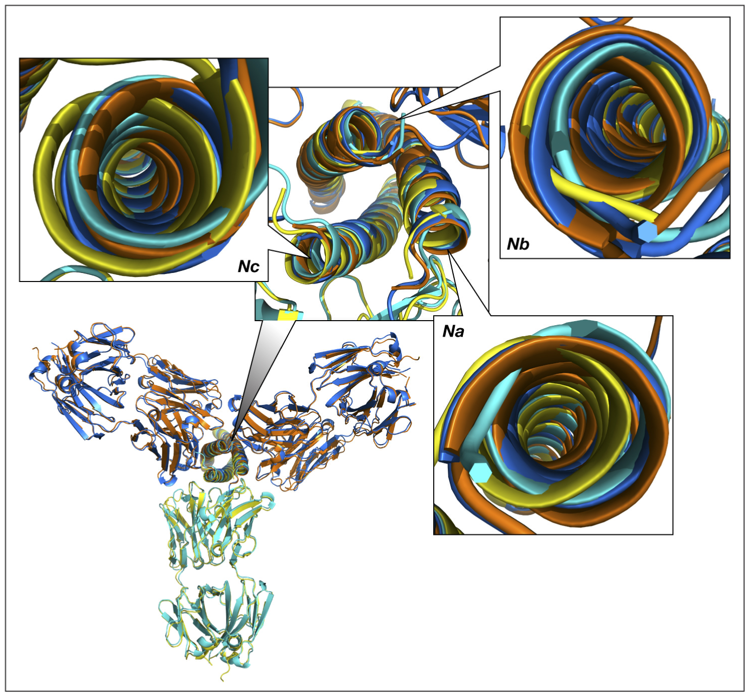 Superimposed models of the complexes of the trimer of N-HR helices of gp41 with three Fab molecules, built by sequentially superimposing two pairs of helices.