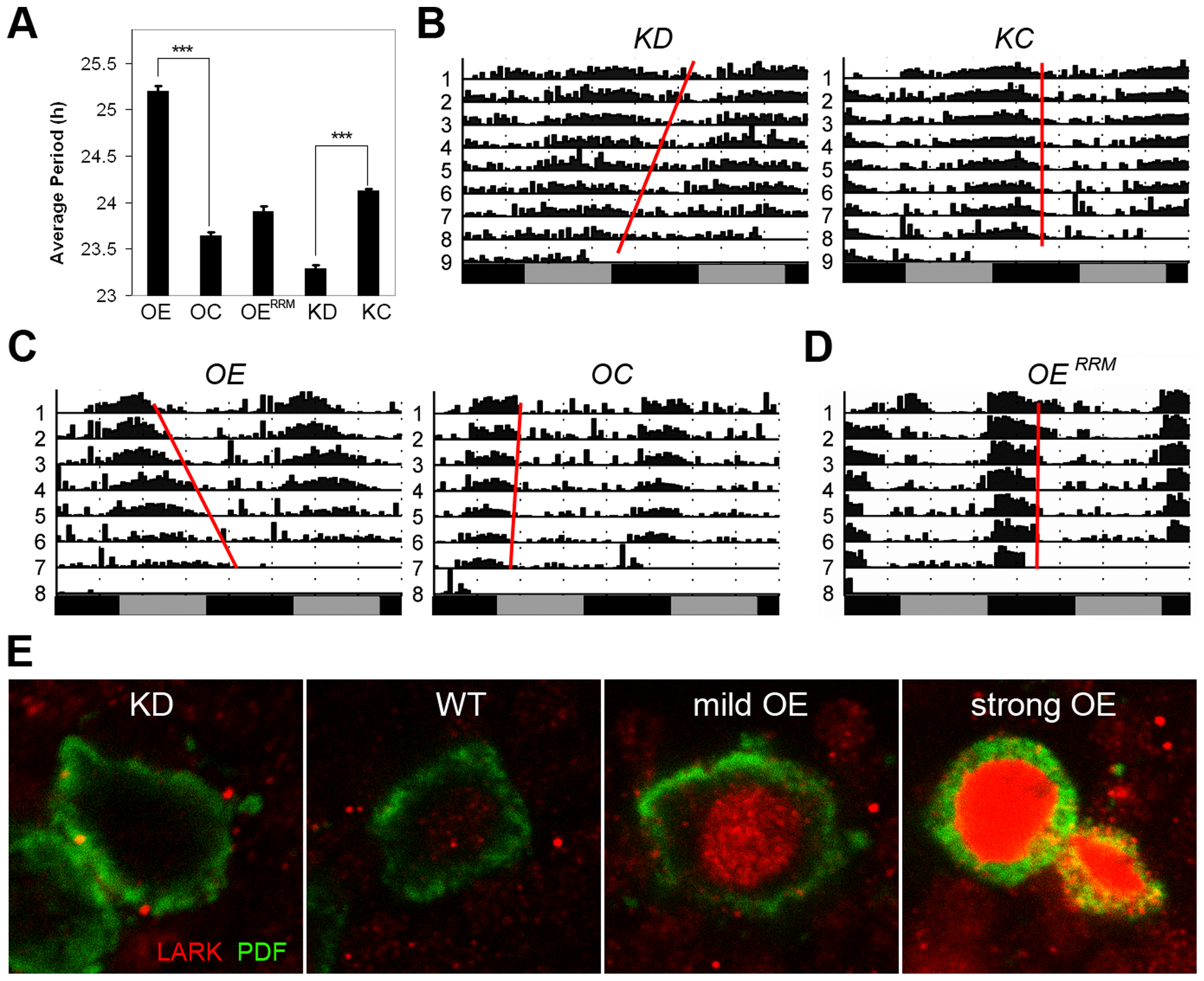 Altered LARK expression in PDF neurons affect circadian period.